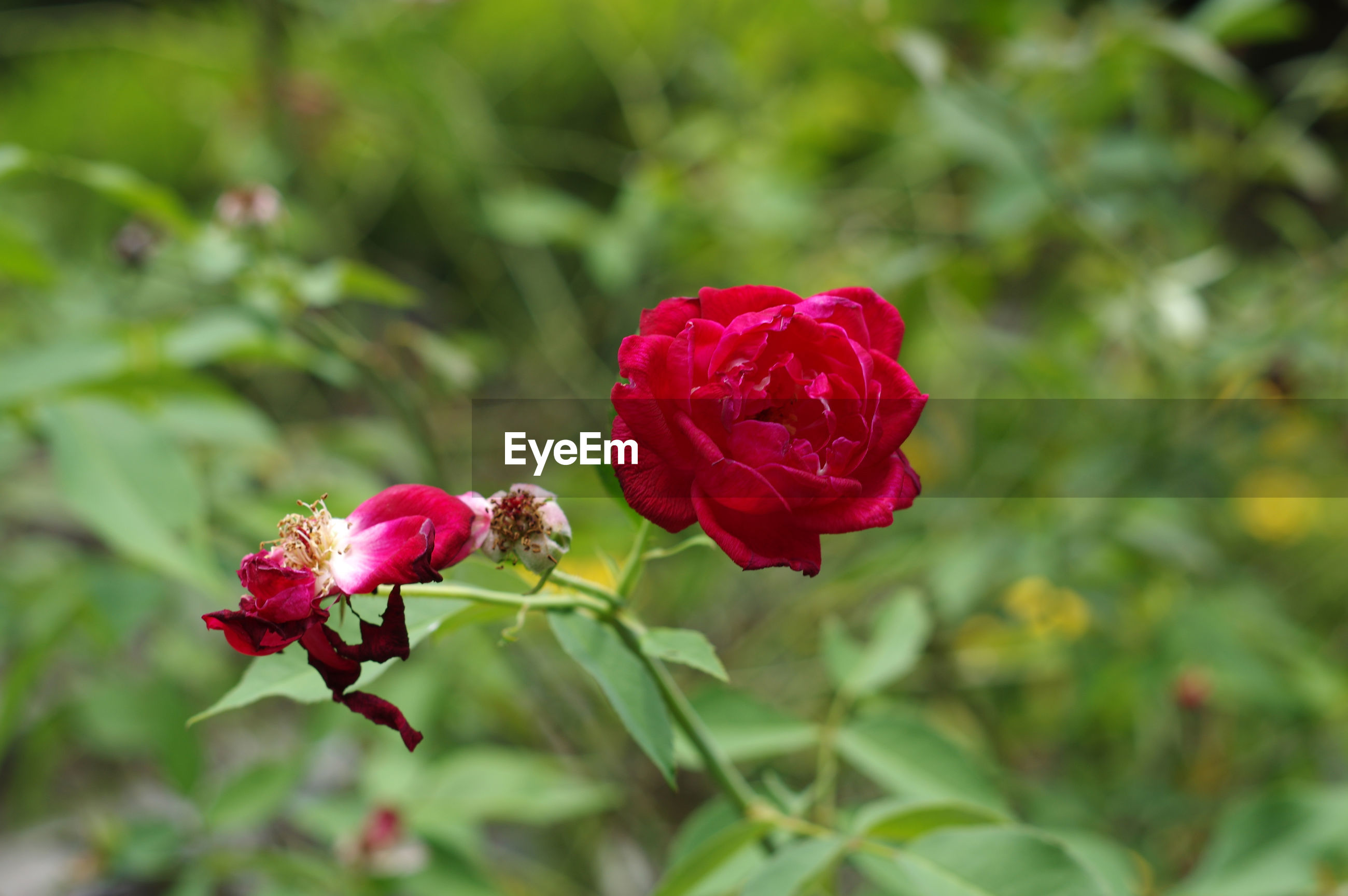 CLOSE-UP OF RED ROSE WITH FLOWER