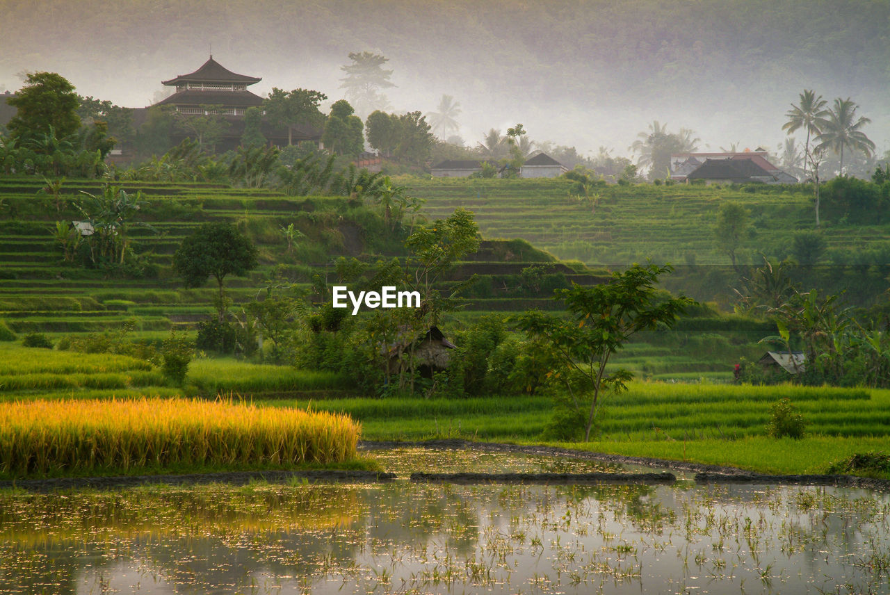 Scenic View Of Rice Field Against Sky