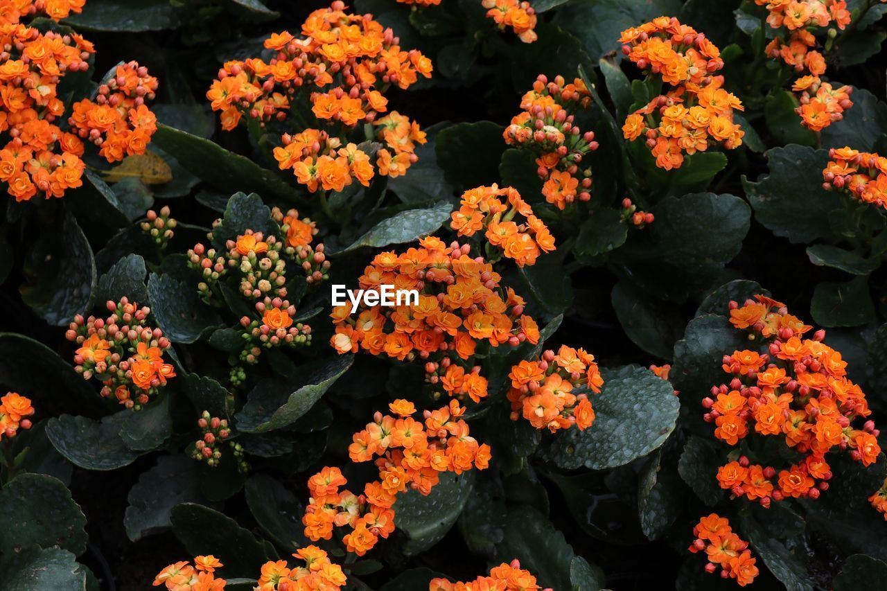 flowering plant, flower, fragility, vulnerability, beauty in nature, freshness, plant, growth, petal, flower head, inflorescence, nature, orange color, no people, close-up, lantana, day, botany, high angle view, outdoors, bunch of flowers
