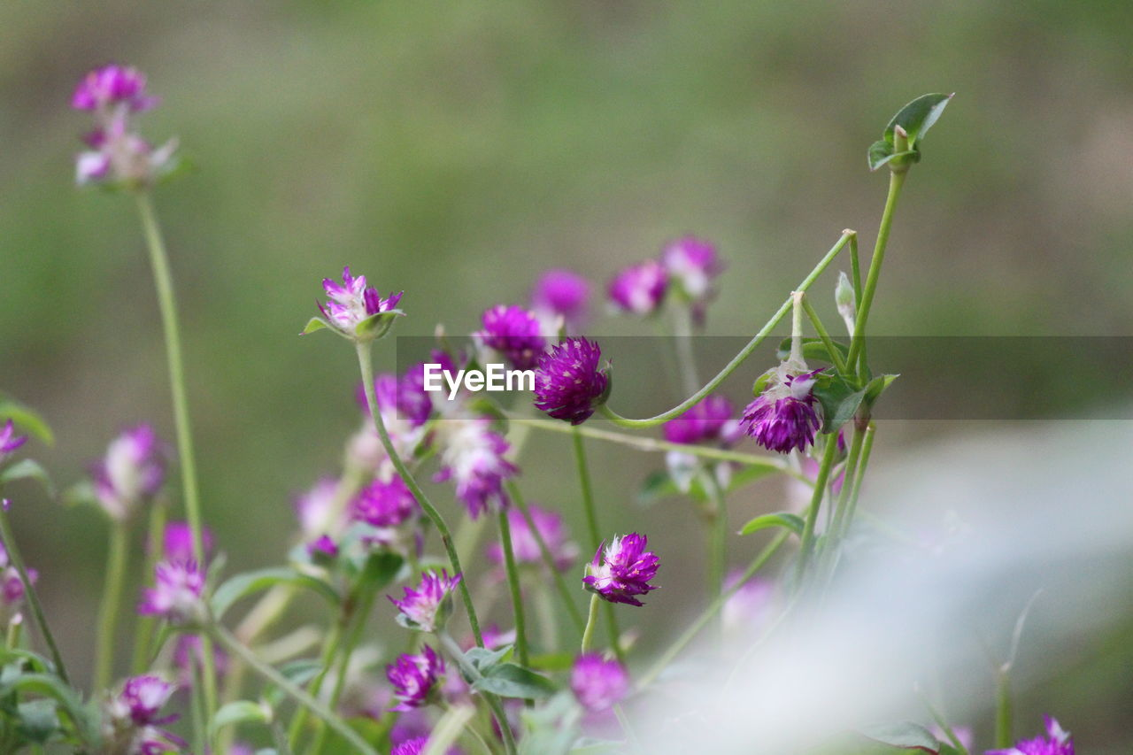 flower, flowering plant, plant, growth, freshness, beauty in nature, fragility, vulnerability, selective focus, nature, petal, close-up, day, land, no people, purple, animal themes, animal, flower head, field, butterfly - insect