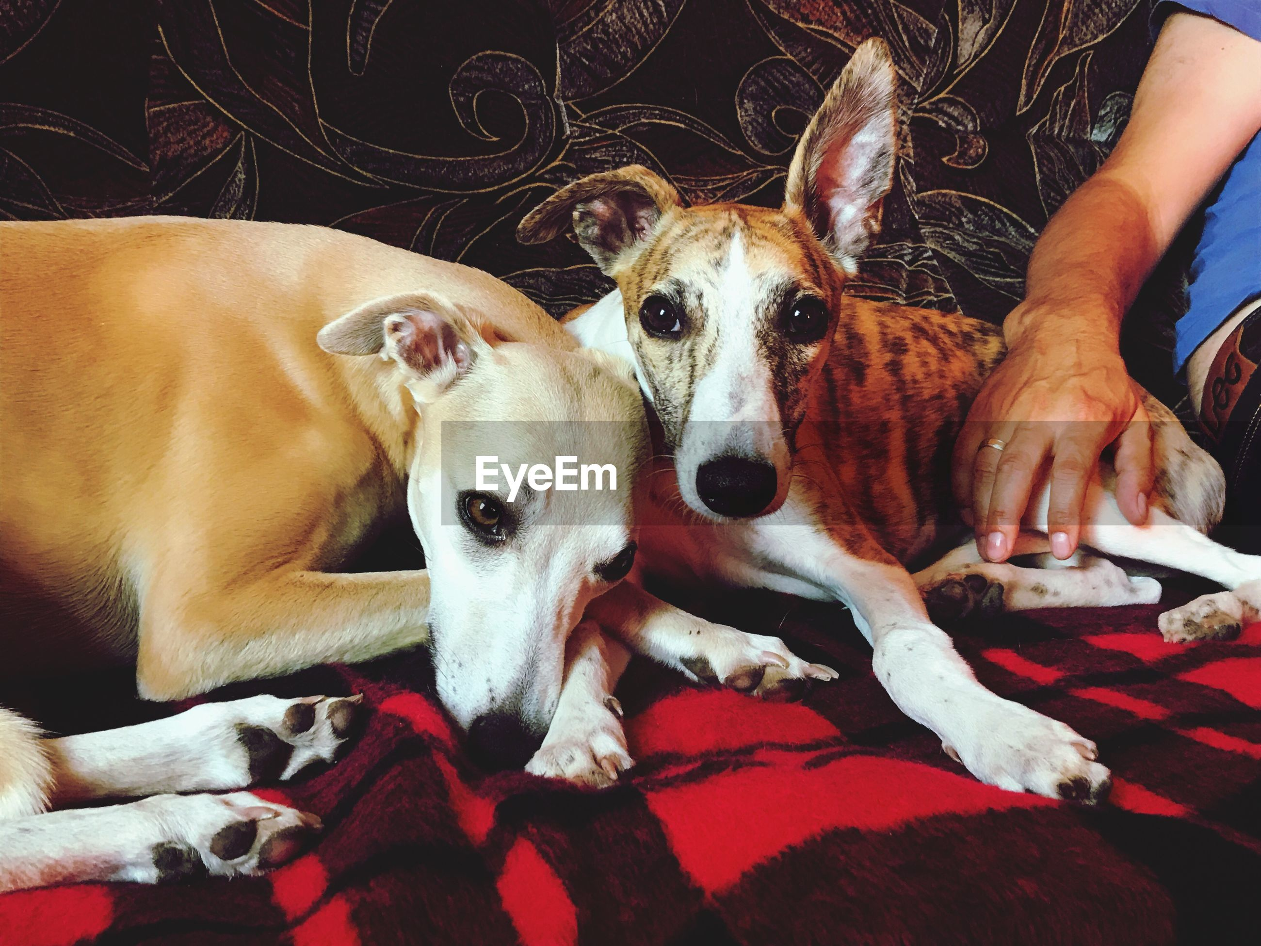 pets, domestic animals, dog, mammal, one animal, indoors, looking at camera, relaxation, lying down, portrait, human hand, day, human body part, real people, men, one person, close-up, people