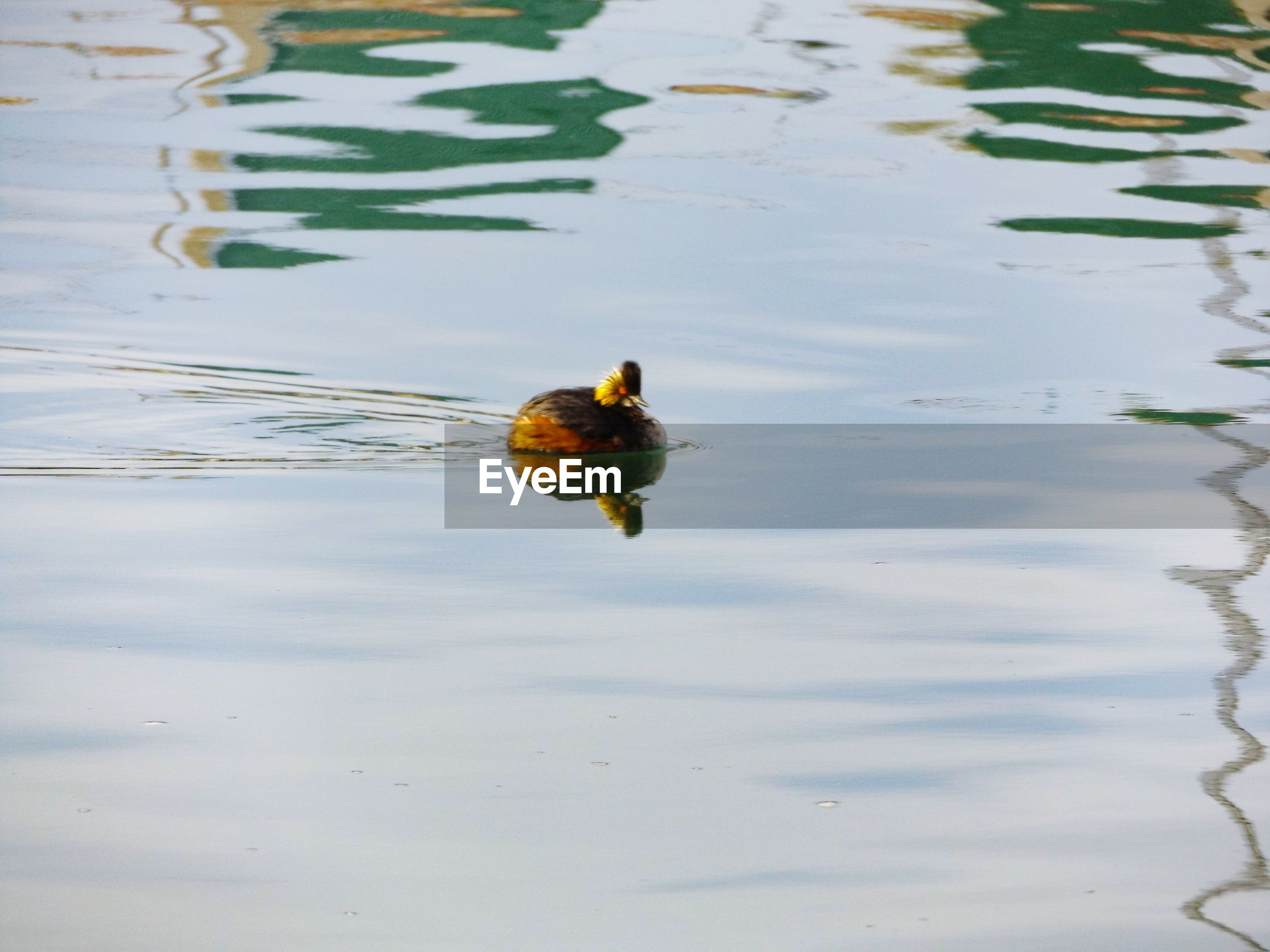animal themes, animals in the wild, water, bird, one animal, animal wildlife, high angle view, duck, swimming, young bird, nature, lake, no people, outdoors, day, close-up