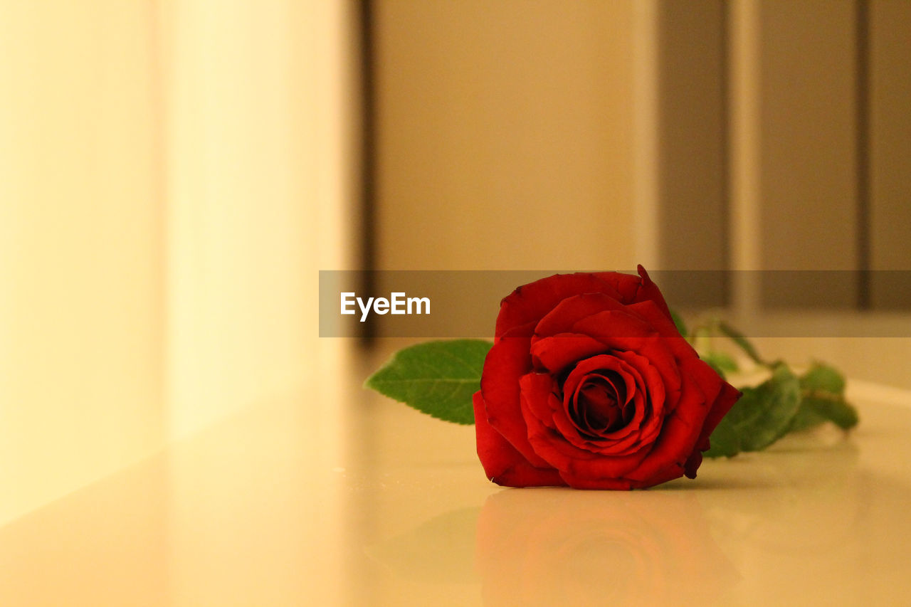 rose, rose - flower, flower, flowering plant, beauty in nature, plant, red, petal, freshness, nature, flower head, inflorescence, close-up, indoors, vulnerability, fragility, no people, flower arrangement, bouquet