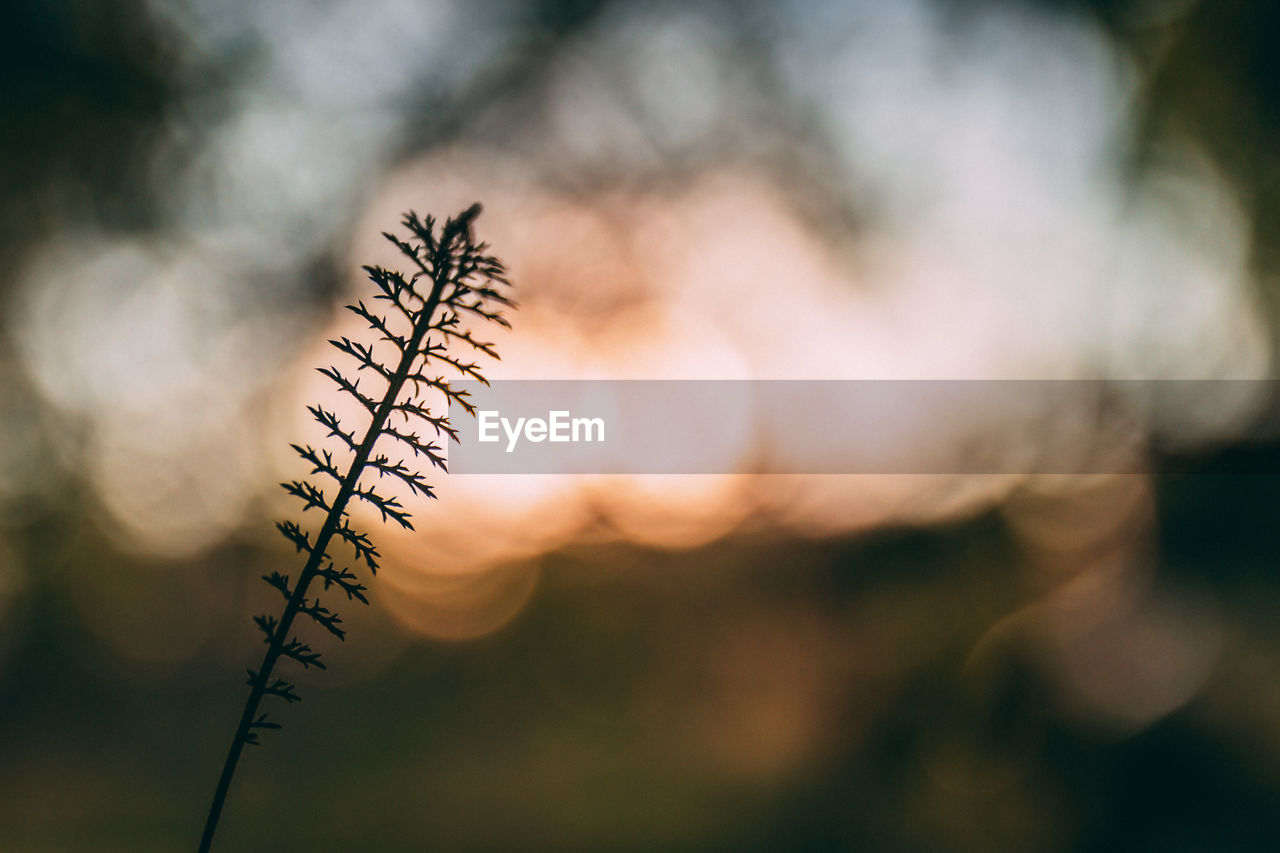 plant, beauty in nature, nature, sunset, growth, no people, focus on foreground, sky, close-up, selective focus, tranquility, outdoors, day, plant stem, cloud - sky, sunlight, silhouette, fragility, vulnerability, flower, stalk, coniferous tree