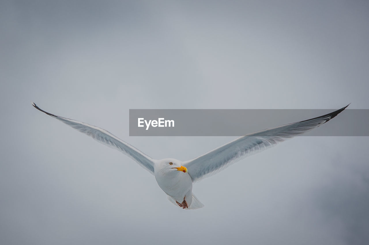 bird, animal themes, animal wildlife, animal, animals in the wild, vertebrate, one animal, spread wings, flying, seagull, mid-air, no people, sky, clear sky, day, low angle view, nature, white color, motion, copy space, outdoors, eagle