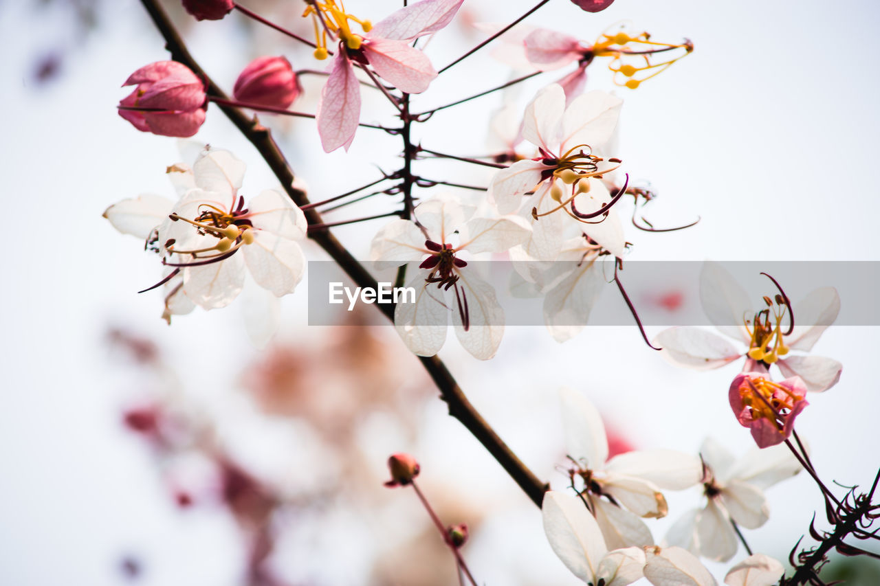 flower, fragility, cherry blossom, white color, blossom, petal, apple blossom, springtime, beauty in nature, apple tree, branch, tree, growth, freshness, botany, orchard, nature, twig, flower head, plum blossom, no people, close-up, stamen, pink color, day, outdoors, blooming