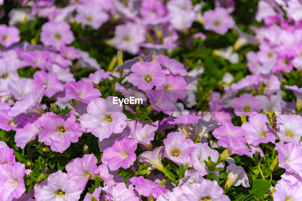 flowering plant, flower, beauty in nature, vulnerability, freshness, petal, fragility, plant, close-up, growth, inflorescence, flower head, nature, purple, no people, selective focus, pink color, full frame, outdoors, day, springtime, flowerbed