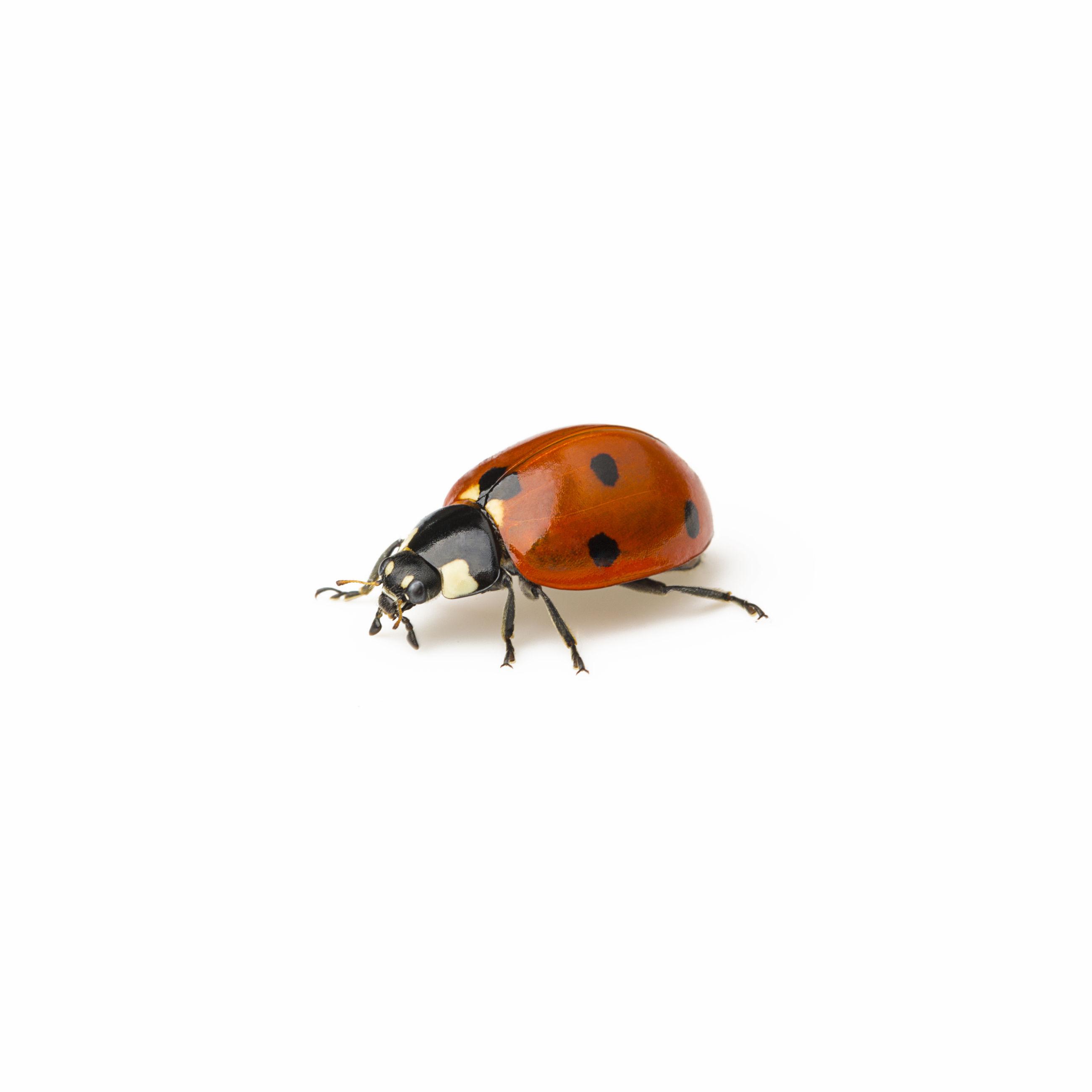 Close-up of ladybug over white background