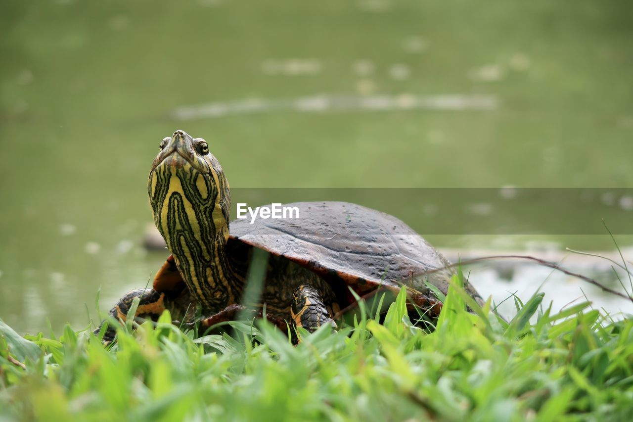 animal, animal themes, animal wildlife, animals in the wild, turtle, selective focus, vertebrate, reptile, grass, group of animals, nature, shell, plant, day, green color, animal shell, two animals, water, no people, outdoors, amphibian, tortoise, tortoise shell, animal family