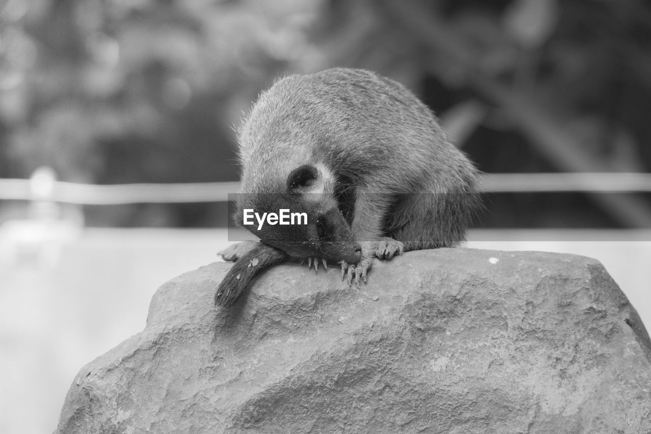 one animal, animal wildlife, animals in the wild, focus on foreground, mammal, rock, rock - object, solid, vertebrate, rodent, no people, day, outdoors, nature, close-up, zoology