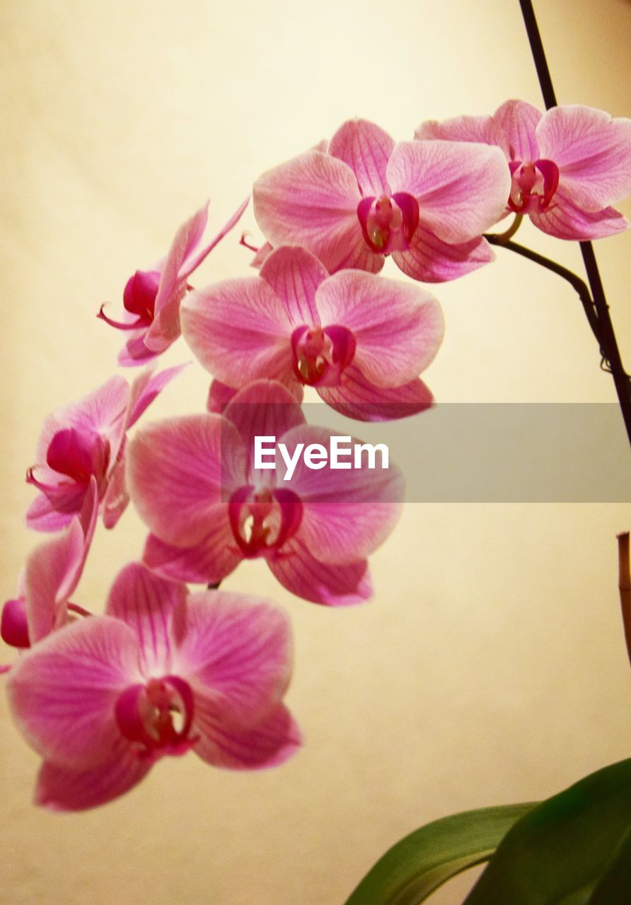 flowering plant, flower, plant, fragility, vulnerability, freshness, pink color, beauty in nature, petal, flower head, close-up, inflorescence, growth, nature, no people, indoors, botany, orchid, blossom, pollen