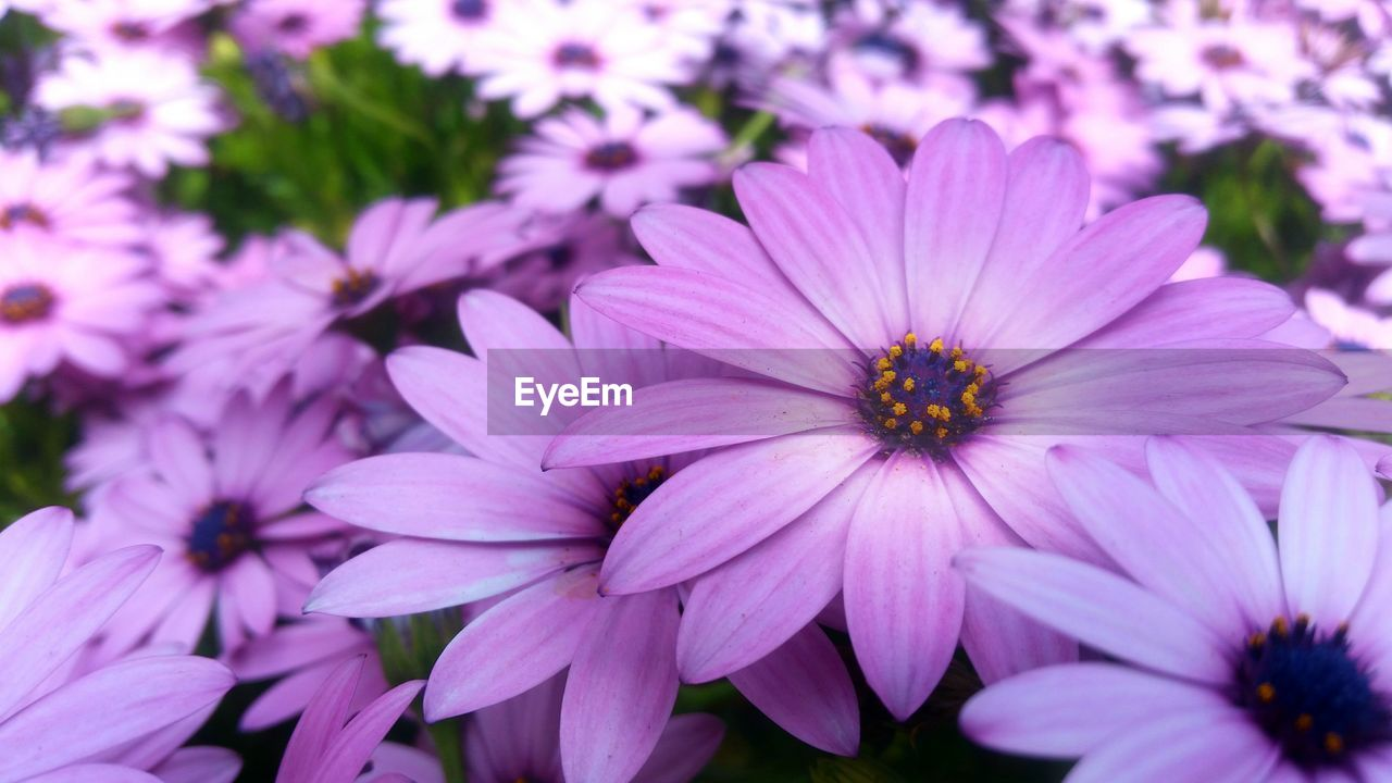 flowering plant, flower, petal, fragility, vulnerability, plant, flower head, freshness, beauty in nature, inflorescence, growth, close-up, osteospermum, pink color, no people, focus on foreground, nature, pollen, purple, day, outdoors