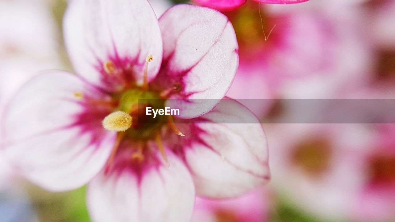 flower, petal, fragility, pink color, beauty in nature, nature, selective focus, close-up, growth, freshness, flower head, day, springtime, no people, stamen, outdoors, blooming