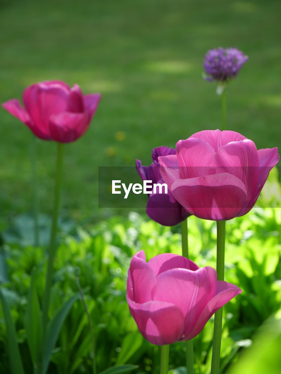 flower, flowering plant, beauty in nature, vulnerability, fragility, plant, petal, freshness, growth, flower head, inflorescence, pink color, close-up, nature, focus on foreground, day, no people, field, plant stem, land, tulip, outdoors, purple, springtime
