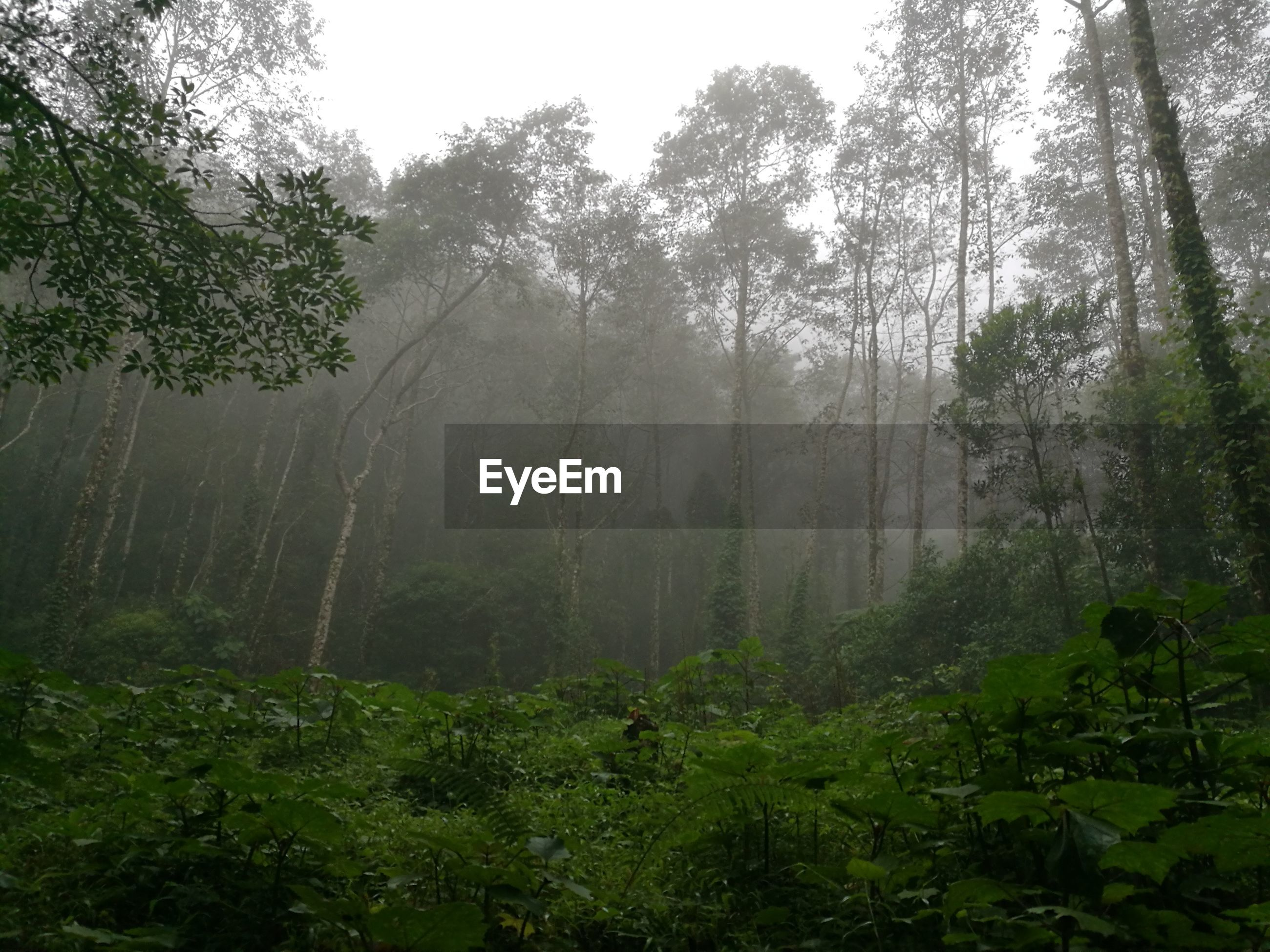 tree, nature, growth, beauty in nature, rain, scenics, tranquility, fog, landscape, no people, outdoors, green color, day, forest, water, bamboo grove, lush - description