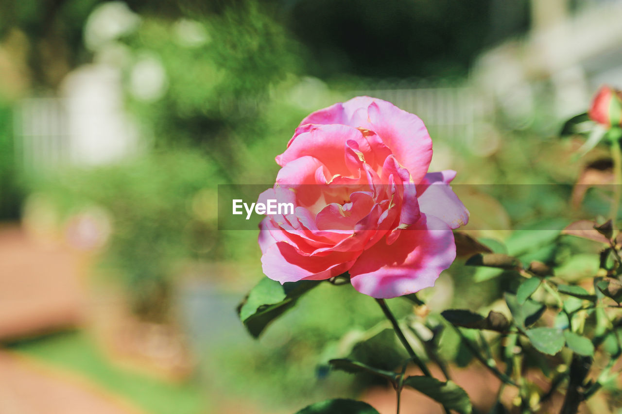 flower, petal, nature, fragility, pink color, beauty in nature, flower head, growth, focus on foreground, freshness, no people, blooming, plant, rose - flower, day, close-up, outdoors