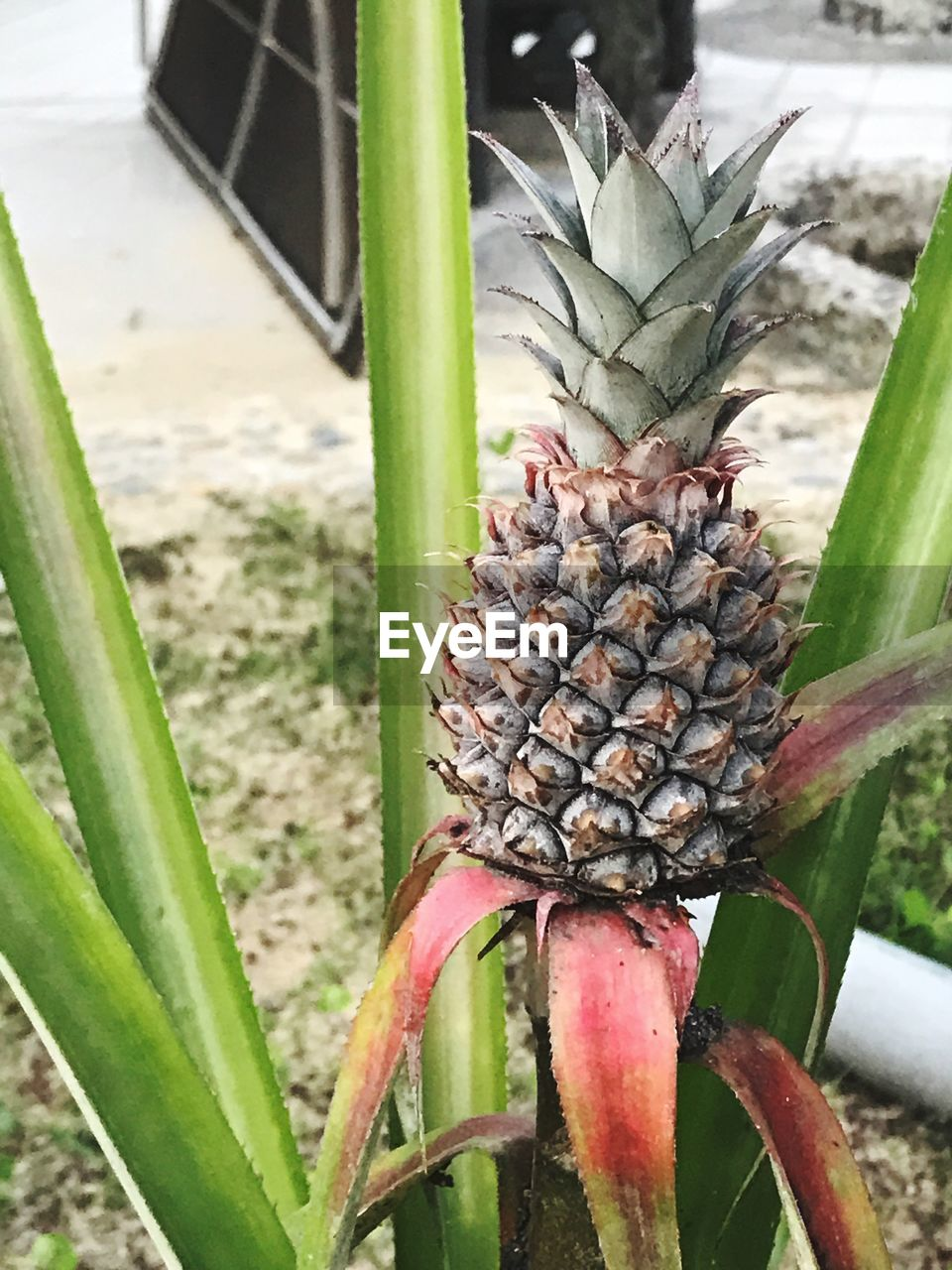 cactus, aloe vera plant, pineapple, nature, thorn, no people, growth, day, green color, outdoors, plant, food and drink, food, close-up, beauty in nature, healthy eating, freshness, flower