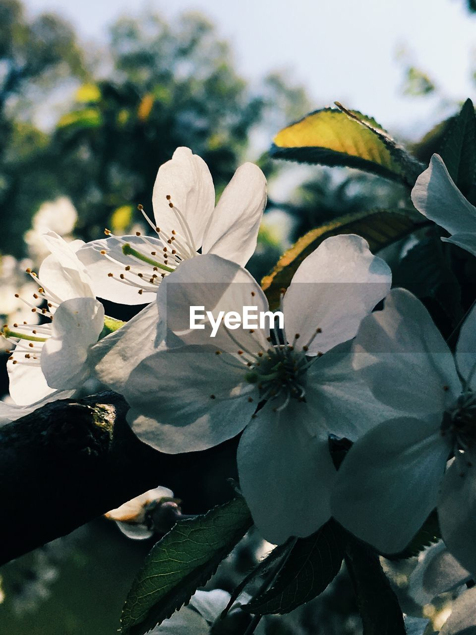 flower, growth, beauty in nature, fragility, white color, petal, freshness, nature, tree, blossom, botany, no people, flower head, close-up, day, leaf, outdoors, branch, stamen, springtime, low angle view, blooming, sky