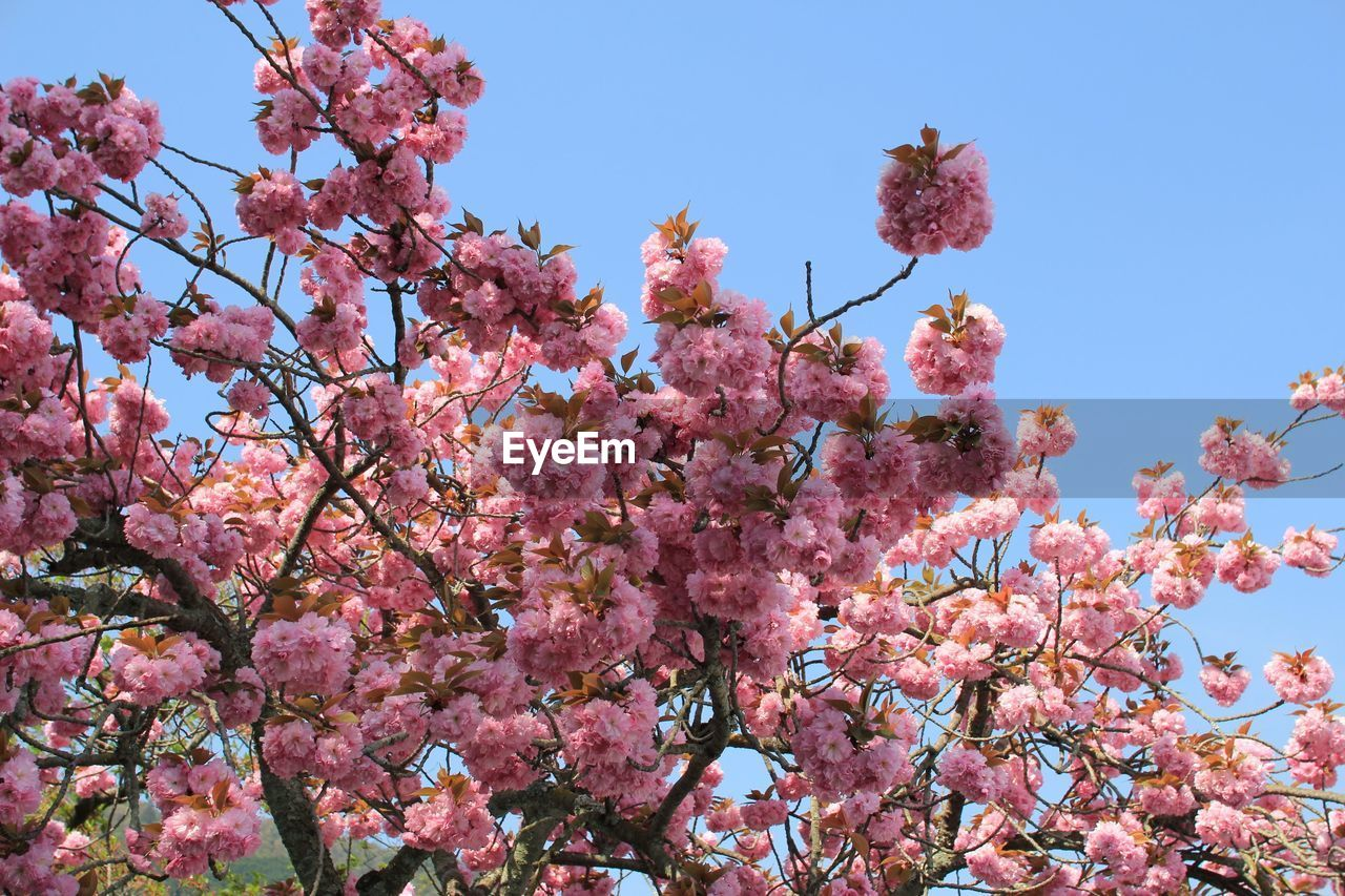 flower, flowering plant, pink color, plant, growth, low angle view, blossom, beauty in nature, freshness, tree, springtime, fragility, branch, sky, nature, cherry blossom, cherry tree, day, no people, vulnerability, outdoors, spring, flower head, bunch of flowers, lilac