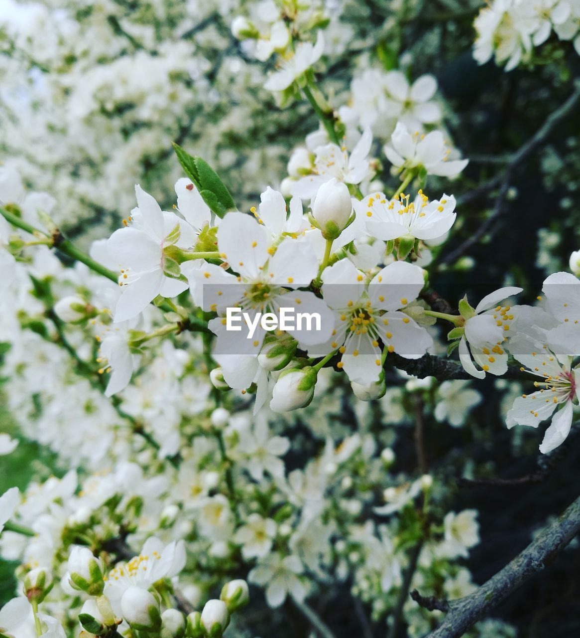 flower, white color, fragility, growth, tree, nature, beauty in nature, blossom, freshness, apple blossom, branch, springtime, apple tree, day, no people, botany, orchard, petal, outdoors, blooming, flower head, close-up