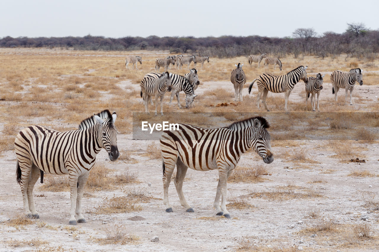striped, zebra, animals in the wild, group of animals, animal wildlife, animal themes, animal, mammal, safari, large group of animals, no people, herd, nature, field, vertebrate, day, land, outdoors, beauty in nature, herbivorous, arid climate, drinking, climate