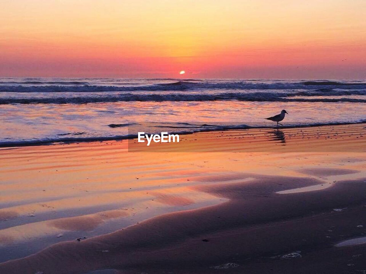 sunset, one animal, nature, animals in the wild, animal themes, sea, animal wildlife, orange color, beauty in nature, bird, scenics, beach, reflection, water, outdoors, tranquil scene, tranquility, wave, horizon over water, no people, sand, sky, mammal, day