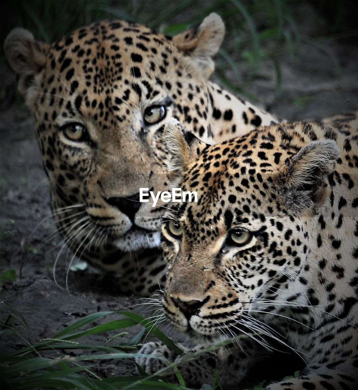 animals in the wild, leopard, animal themes, portrait, no people, day, mammal, looking at camera, safari animals, close-up, outdoors, nature