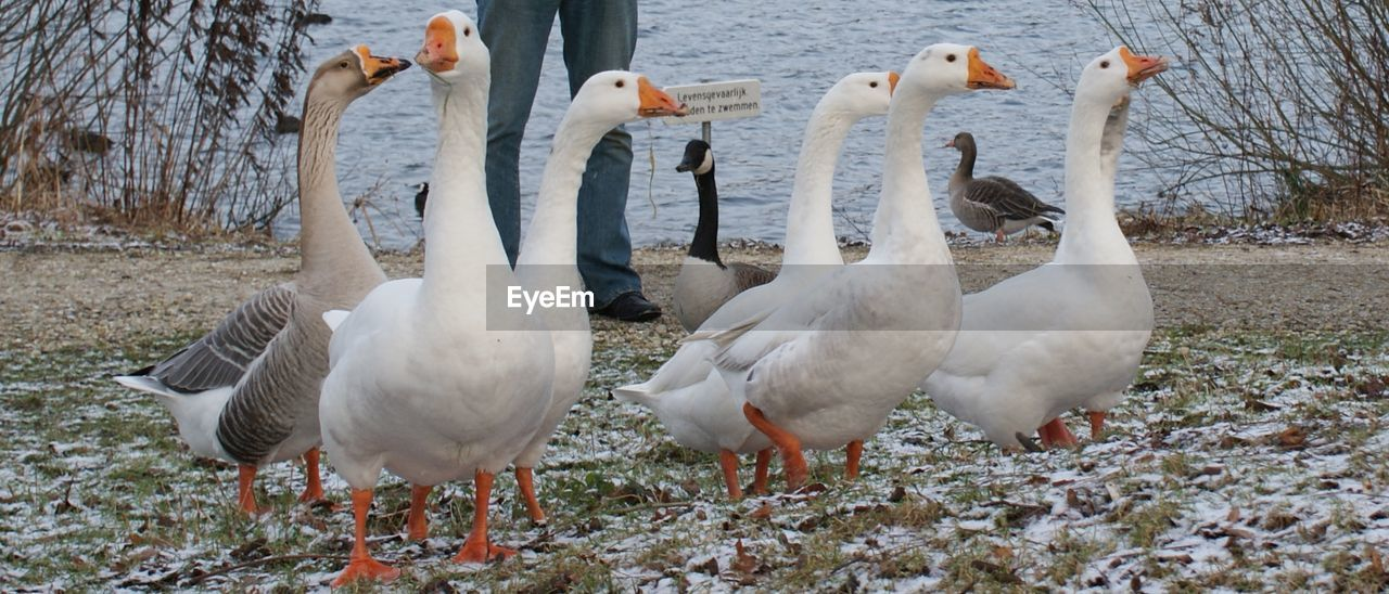 bird, animal themes, animals in the wild, white color, animal wildlife, lake, nature, no people, goose, day, geese, outdoors, togetherness, water, beauty in nature, swan