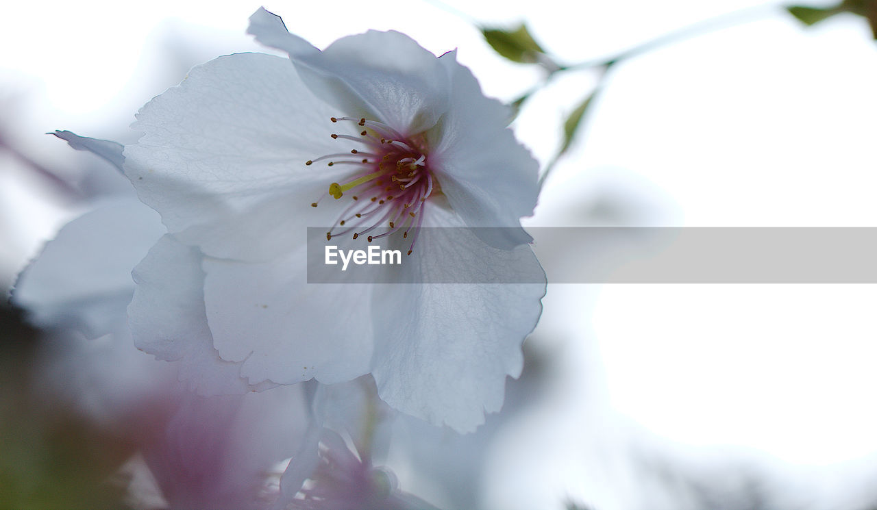 flower, flowering plant, fragility, beauty in nature, vulnerability, freshness, plant, petal, close-up, growth, white color, inflorescence, pollen, flower head, blossom, day, selective focus, no people, focus on foreground, nature, springtime, outdoors, cherry blossom