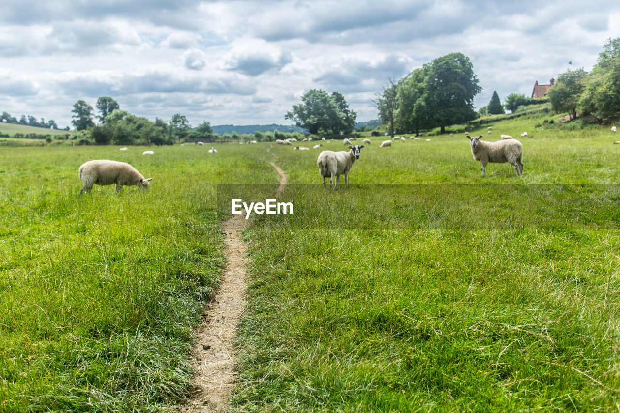 Sheep standing on grassy field against sky