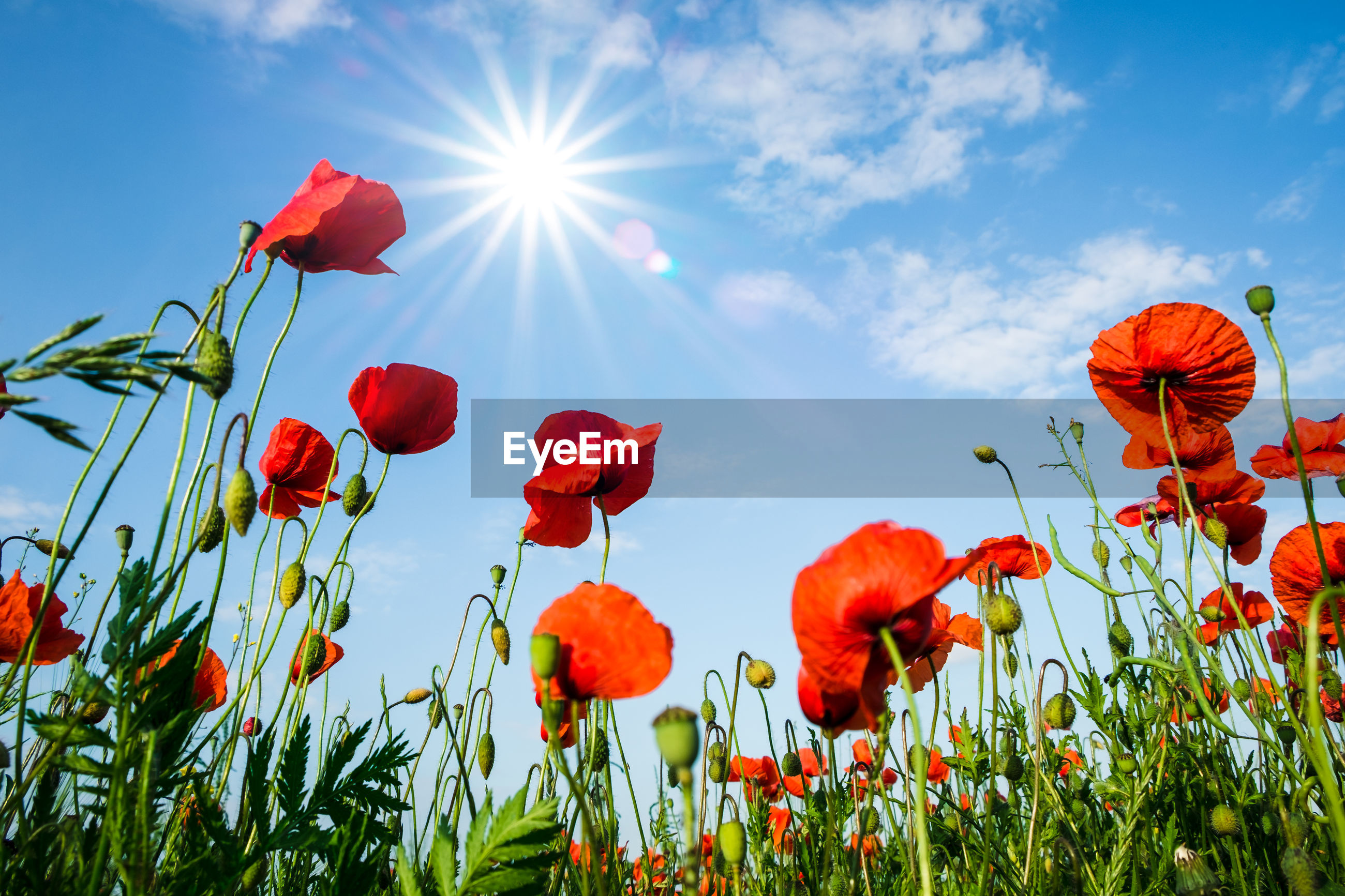 LOW ANGLE VIEW OF POPPY FLOWERS BLOOMING ON FIELD