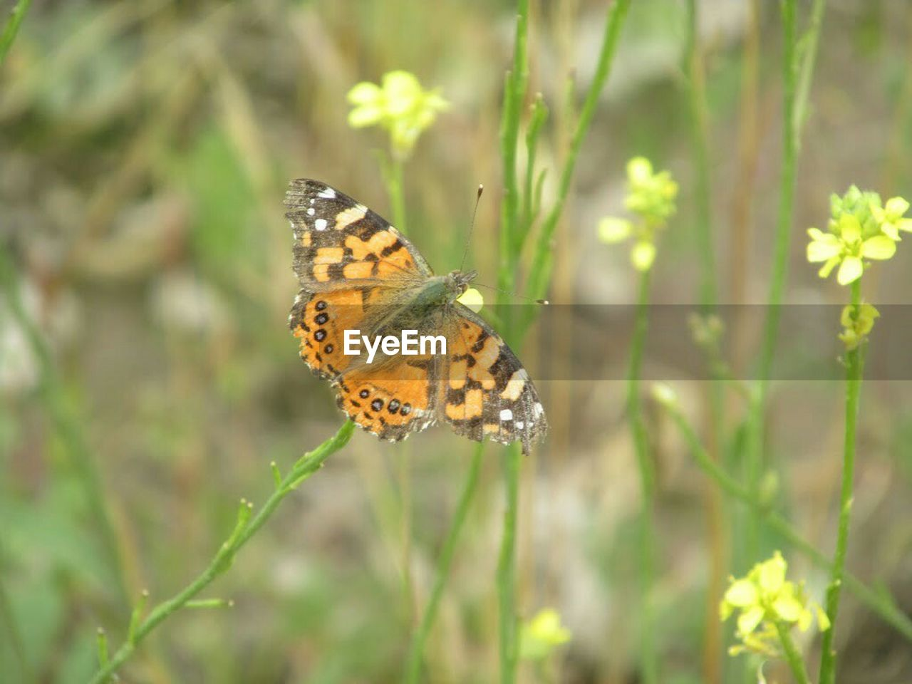 insect, butterfly, nature, one animal, butterfly - insect, animals in the wild, plant, animal themes, flower, no people, outdoors, fragility, day, growth, close-up, beauty in nature, grass, freshness