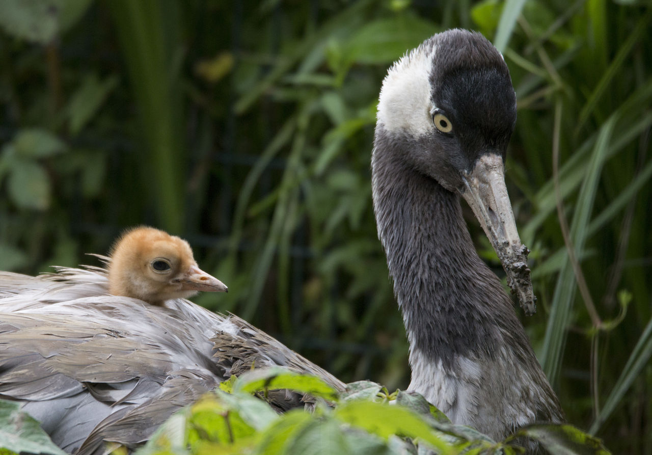 animal themes, vertebrate, animal, bird, group of animals, animal wildlife, animals in the wild, two animals, young animal, young bird, nature, no people, day, close-up, beak, focus on foreground, plant, animal family, outdoors, gosling, cygnet
