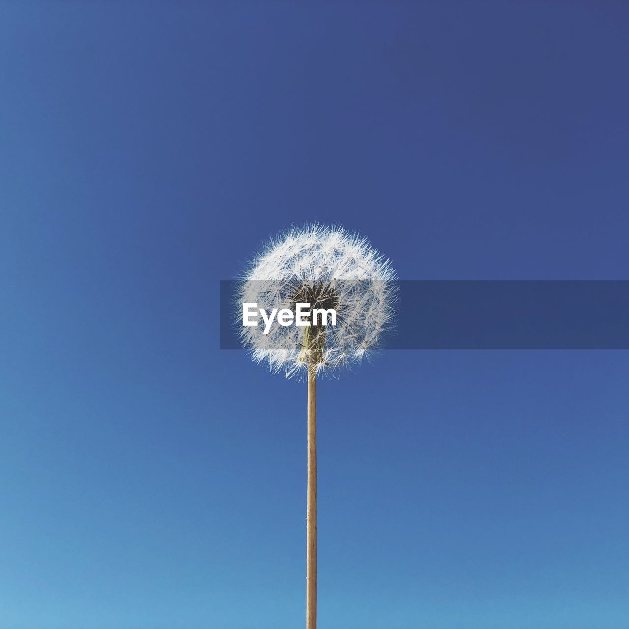 Low Angle View Of Dandelion Against Blue Sky