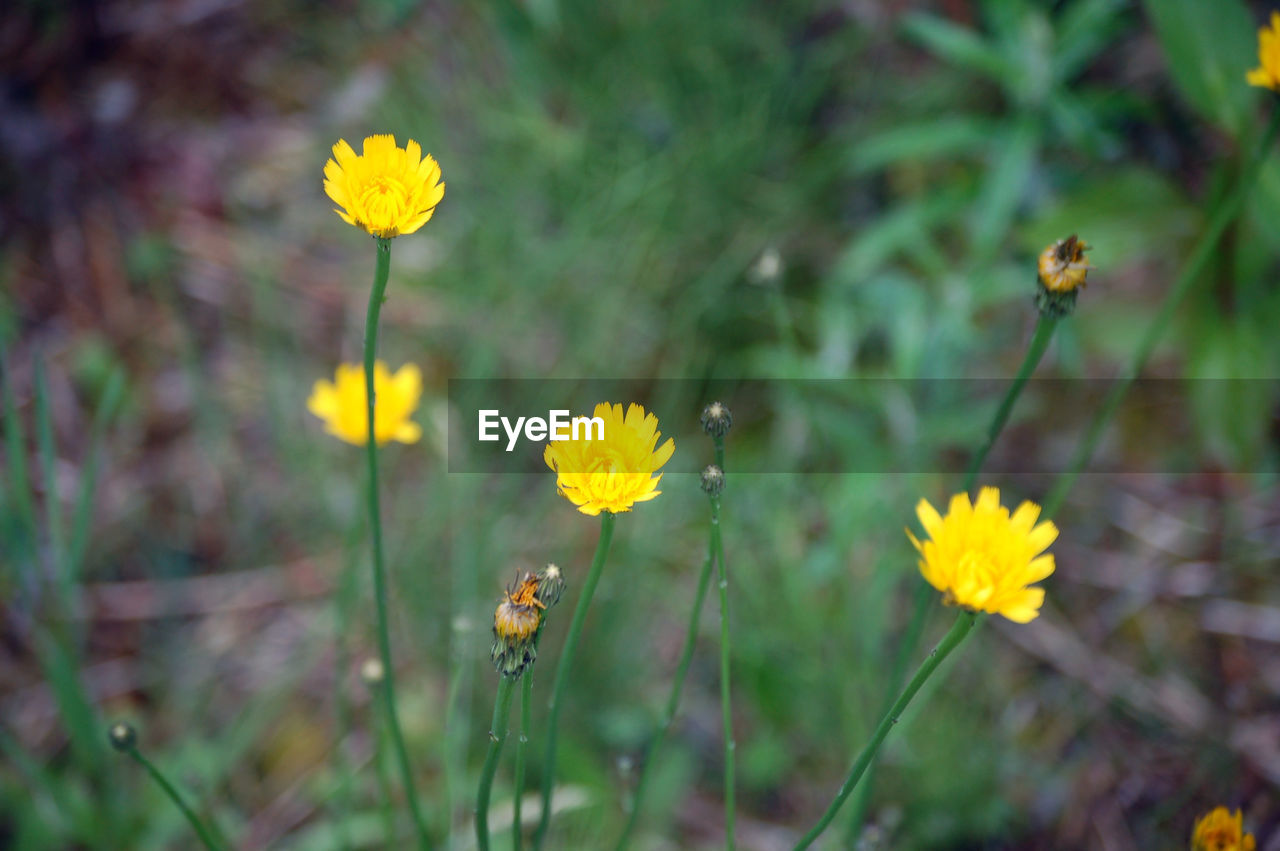 flower, yellow, fragility, nature, petal, growth, beauty in nature, flower head, plant, freshness, blooming, field, insect, no people, outdoors, bee, day, cosmos flower, close-up, animal themes