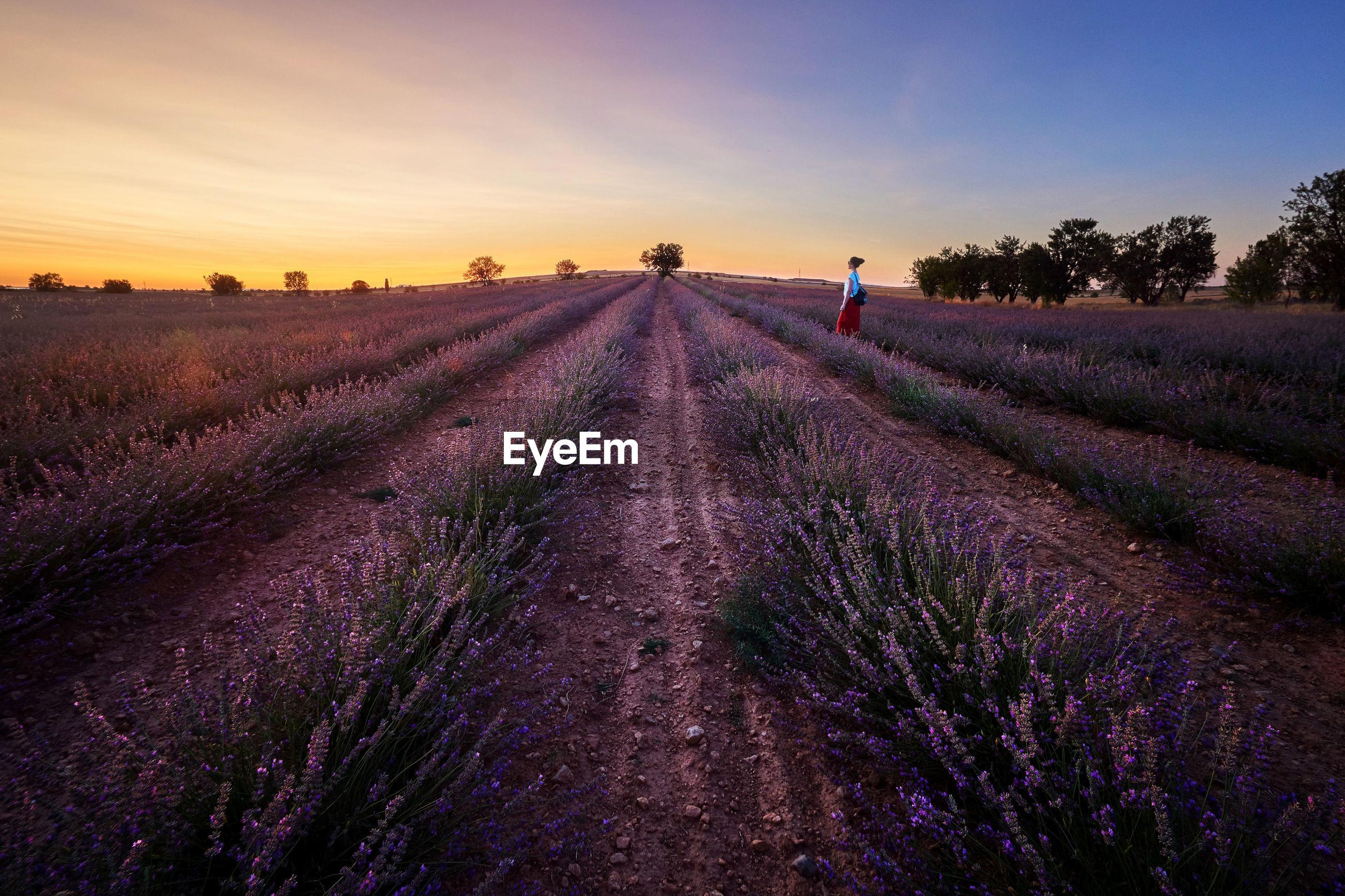 Lavender field sunset. spain