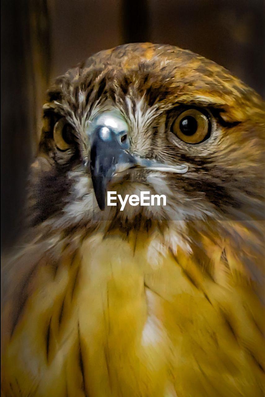 bird, animal themes, animals in the wild, one animal, bird of prey, animal wildlife, close-up, beak, hawk, no people, day, outdoors, nature