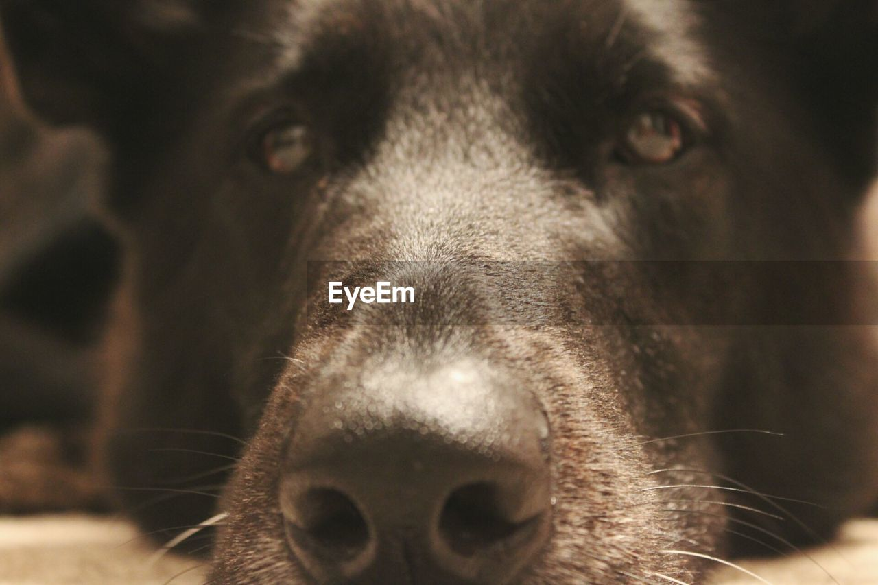 mammal, one animal, domestic, domestic animals, pets, canine, dog, vertebrate, close-up, animal body part, portrait, no people, animal nose, looking at camera, focus on foreground, indoors, snout, animal mouth, animal eye, whisker