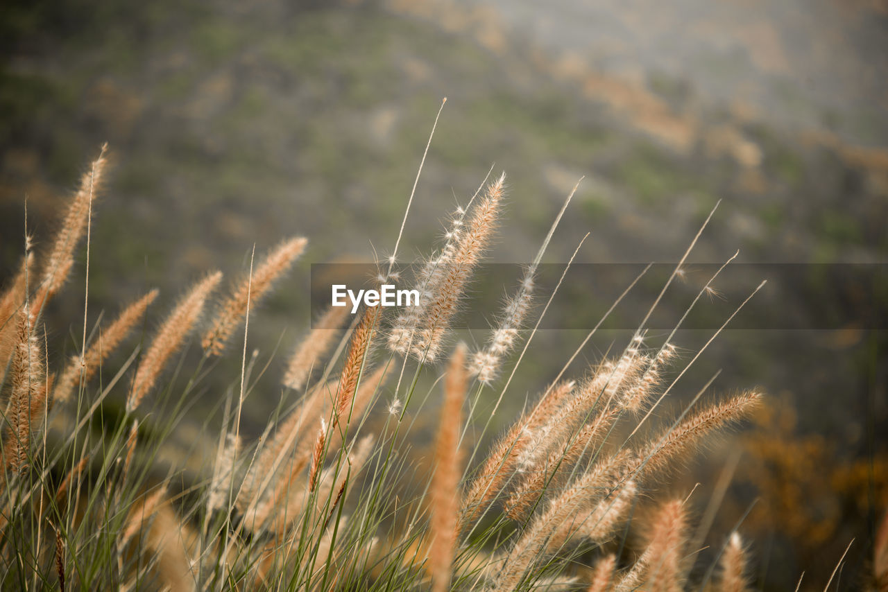 growth, plant, beauty in nature, nature, tranquility, close-up, focus on foreground, day, no people, grass, field, land, selective focus, outdoors, agriculture, sunlight, crop, green color, timothy grass, reed - grass family, stalk