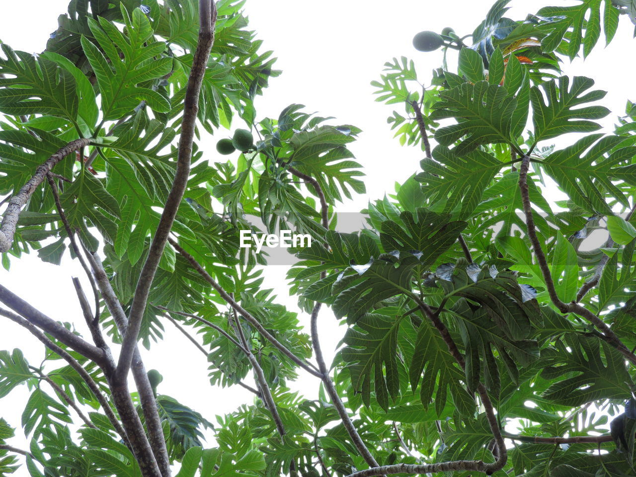 leaf, tree, low angle view, growth, green color, no people, nature, day, plant, branch, outdoors, sky, beauty in nature, clear sky, white background, close-up, freshness