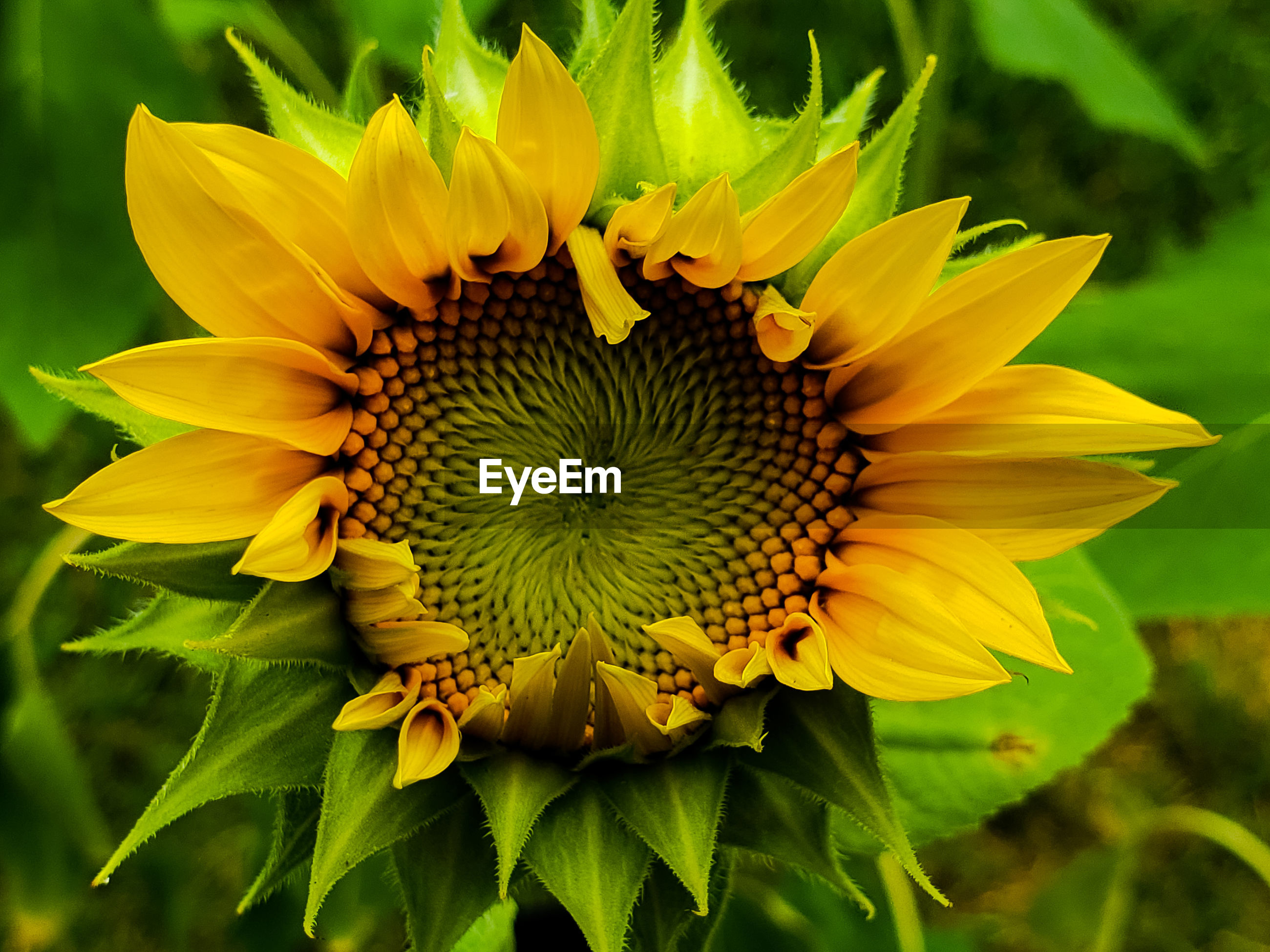 CLOSE-UP OF SUNFLOWER IN BLOOM