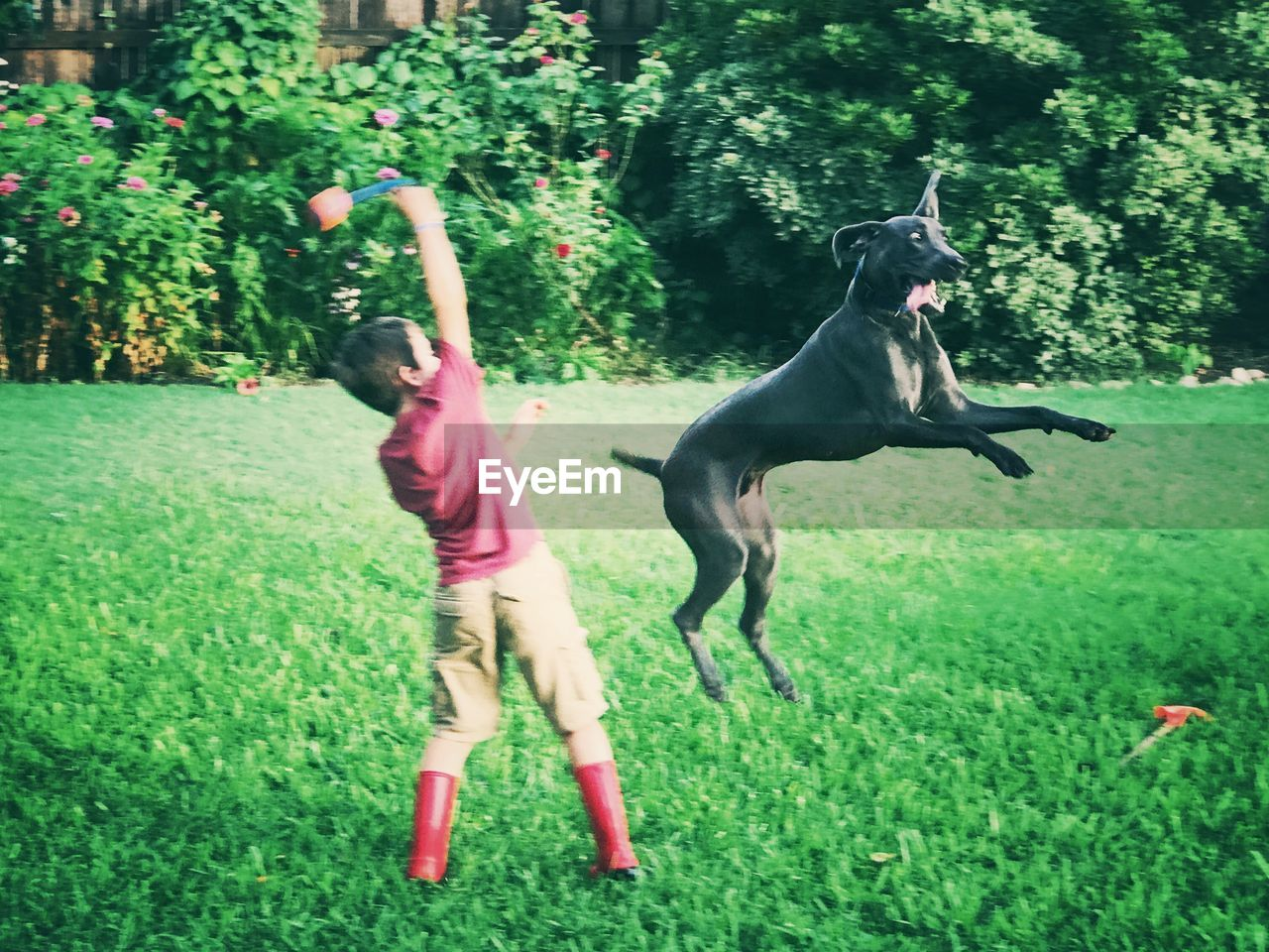 grass, pets, dog, animal themes, motion, plant, outdoors, full length, jumping, mid-air, one animal, domestic animals, running, playing, day, growth, green color, labrador retriever, mammal, tree, nature, one person, real people, black labrador, weimaraner, people