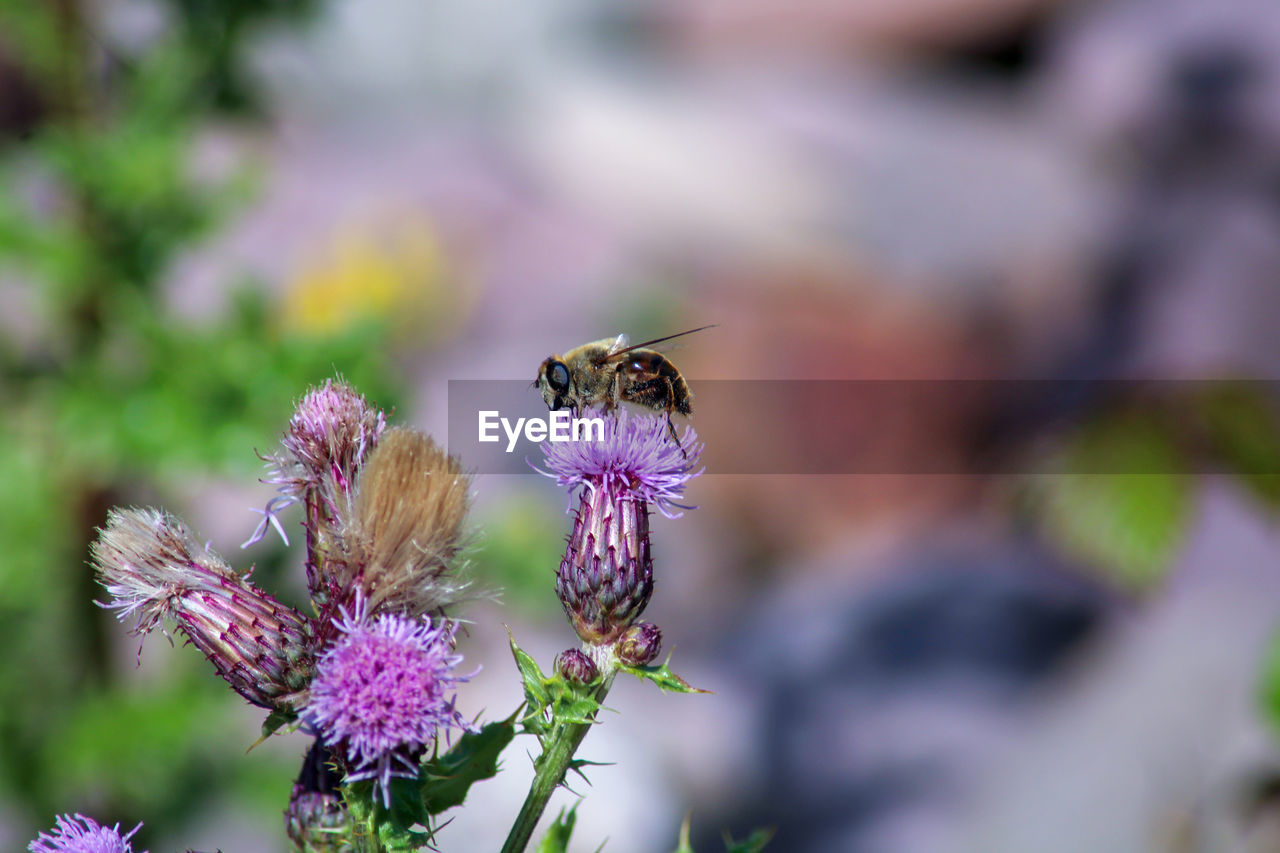 flowering plant, flower, insect, animals in the wild, invertebrate, animal themes, beauty in nature, animal wildlife, animal, fragility, plant, freshness, vulnerability, growth, bee, close-up, petal, one animal, pollination, purple, flower head, no people