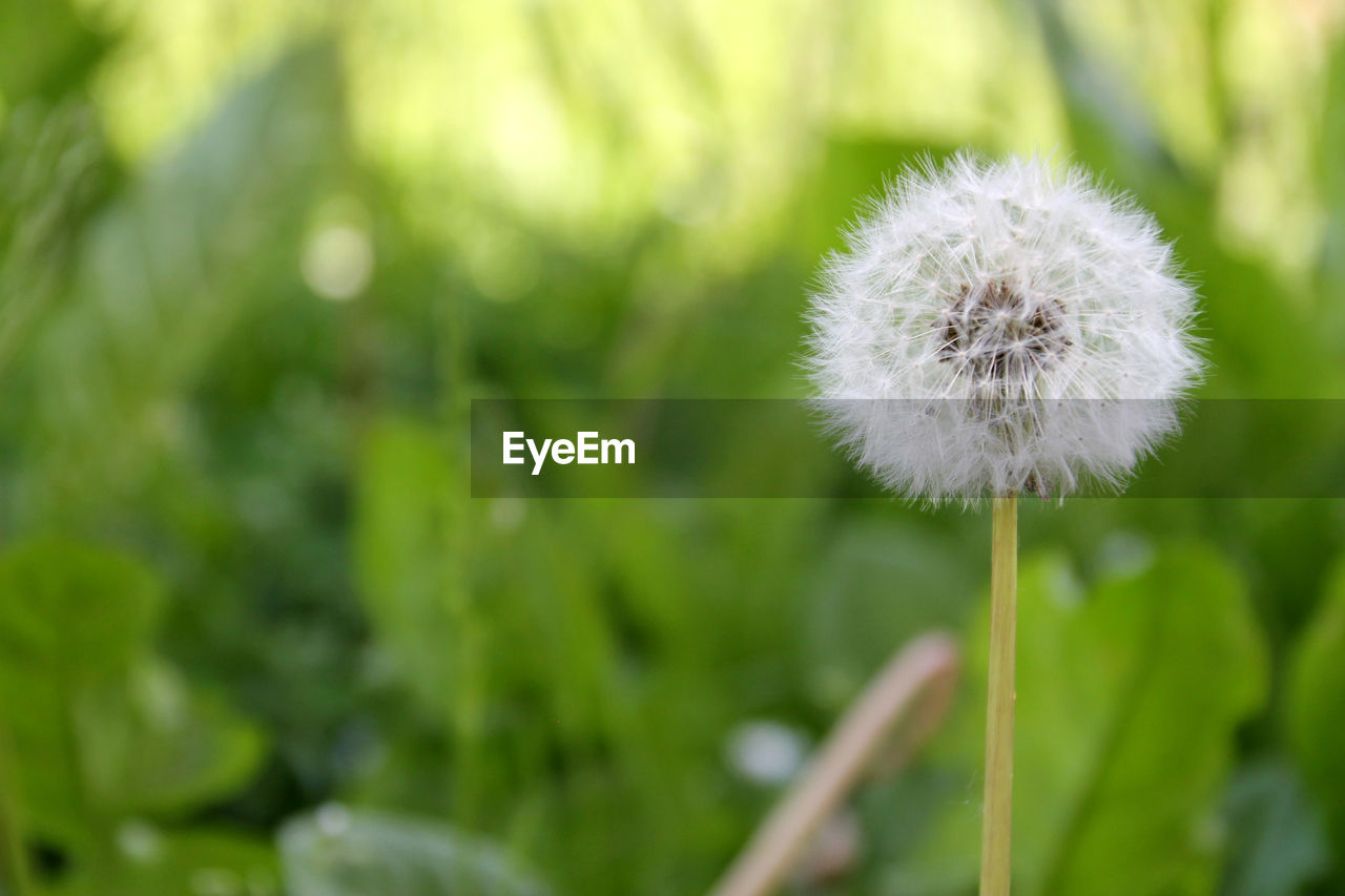 flower, dandelion, growth, fragility, nature, plant, beauty in nature, freshness, white color, close-up, botany, softness, flower head, uncultivated, focus on foreground, outdoors, day, green color, no people