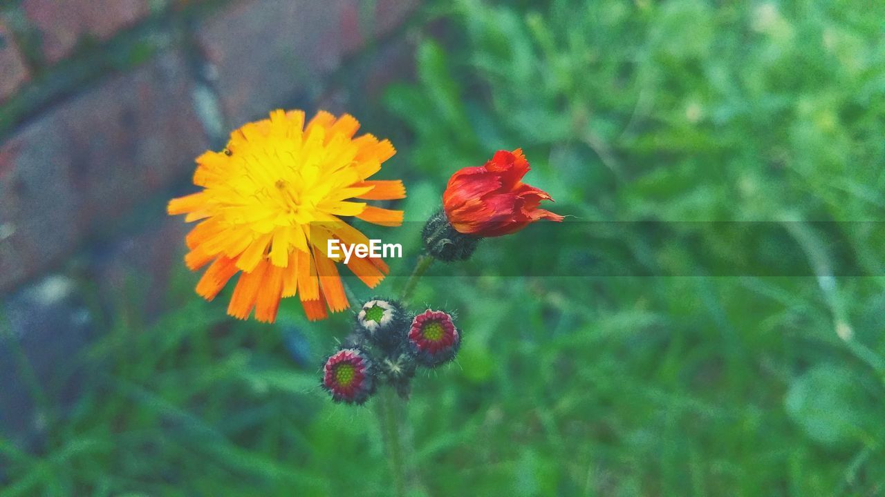 flower, growth, beauty in nature, fragility, nature, plant, petal, freshness, flower head, no people, blooming, red, outdoors, day, animal themes, green color, one animal, close-up, animals in the wild, zinnia, buzzing