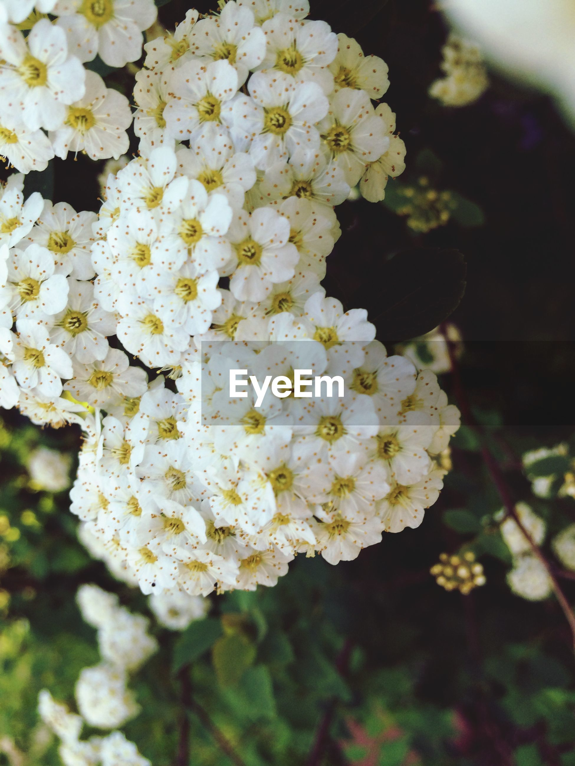 flower, white color, freshness, fragility, growth, petal, beauty in nature, nature, focus on foreground, flower head, blooming, close-up, cherry blossom, blossom, in bloom, white, tree, branch, outdoors, cherry tree