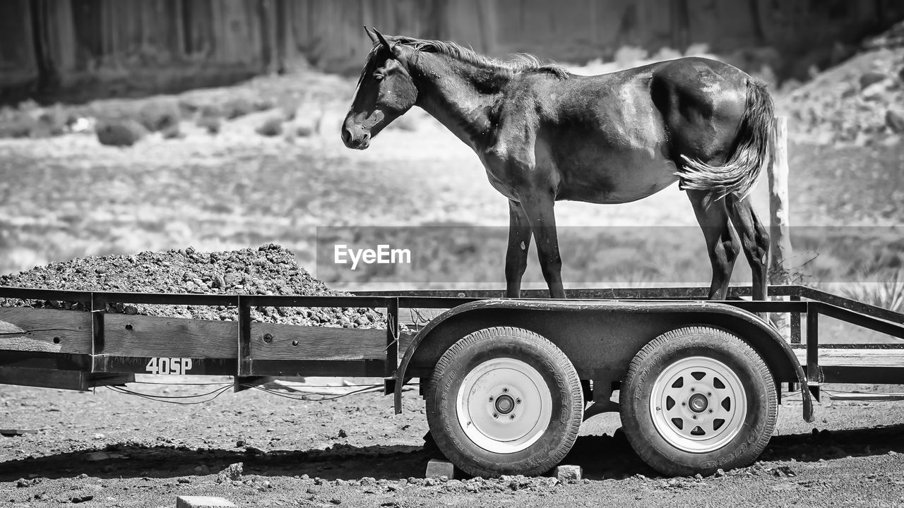 mammal, animal, animal themes, livestock, vertebrate, transportation, one animal, day, field, domestic animals, domestic, land, horse, animal wildlife, no people, focus on foreground, nature, pets, mode of transportation, outdoors, herbivorous, wheel