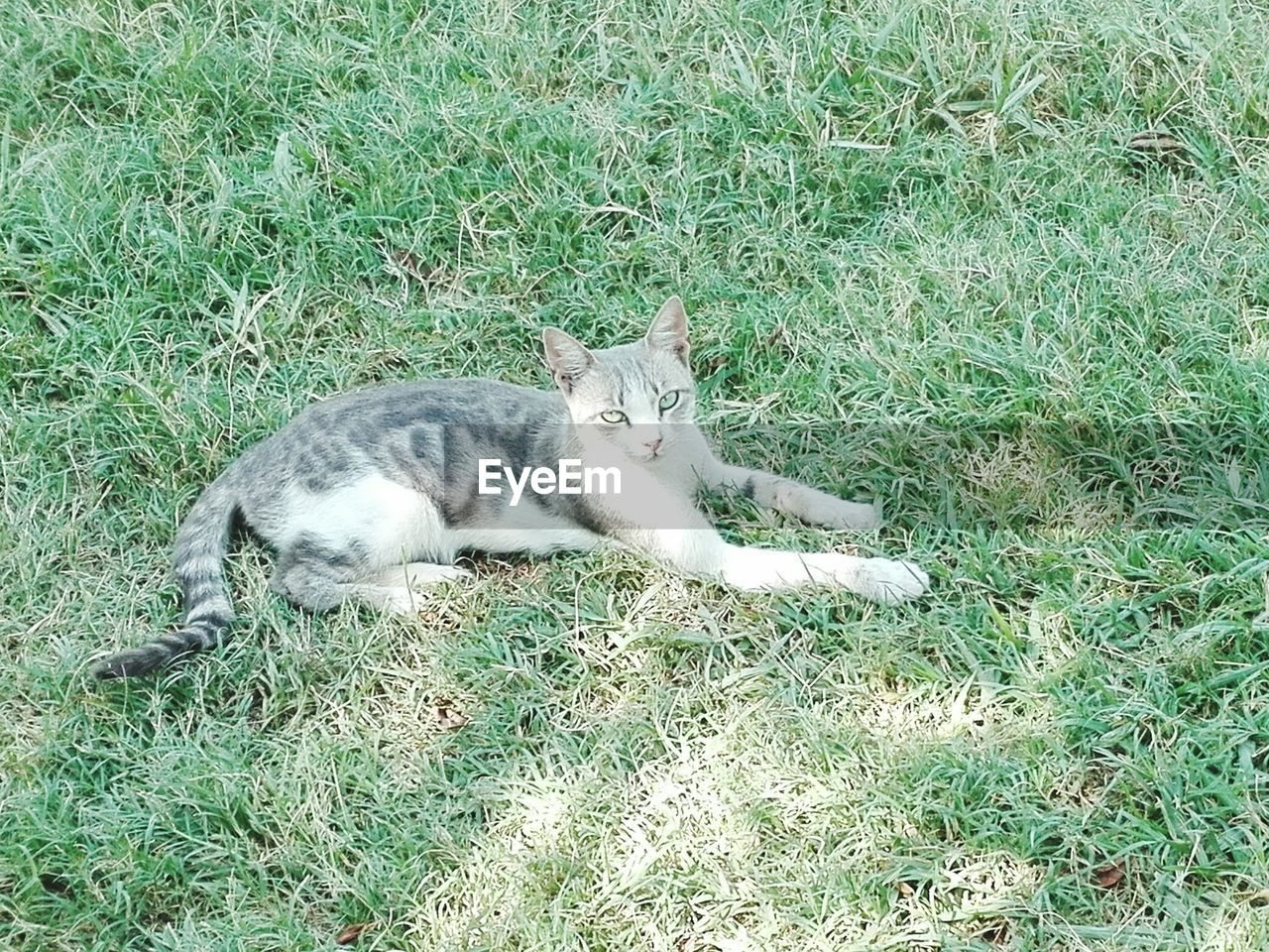 domestic cat, feline, cat, mammal, domestic animals, grass, animal themes, lying down, pets, high angle view, relaxation, one animal, outdoors, day, nature, no people, portrait