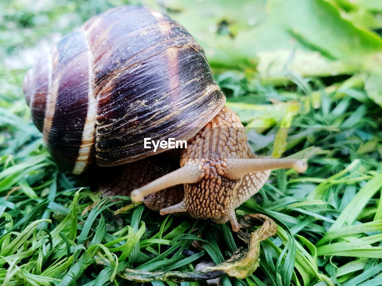 invertebrate, animal, animal themes, gastropod, mollusk, one animal, animals in the wild, animal wildlife, snail, close-up, shell, grass, animal shell, plant, nature, day, animal body part, no people, green color, focus on foreground, crawling