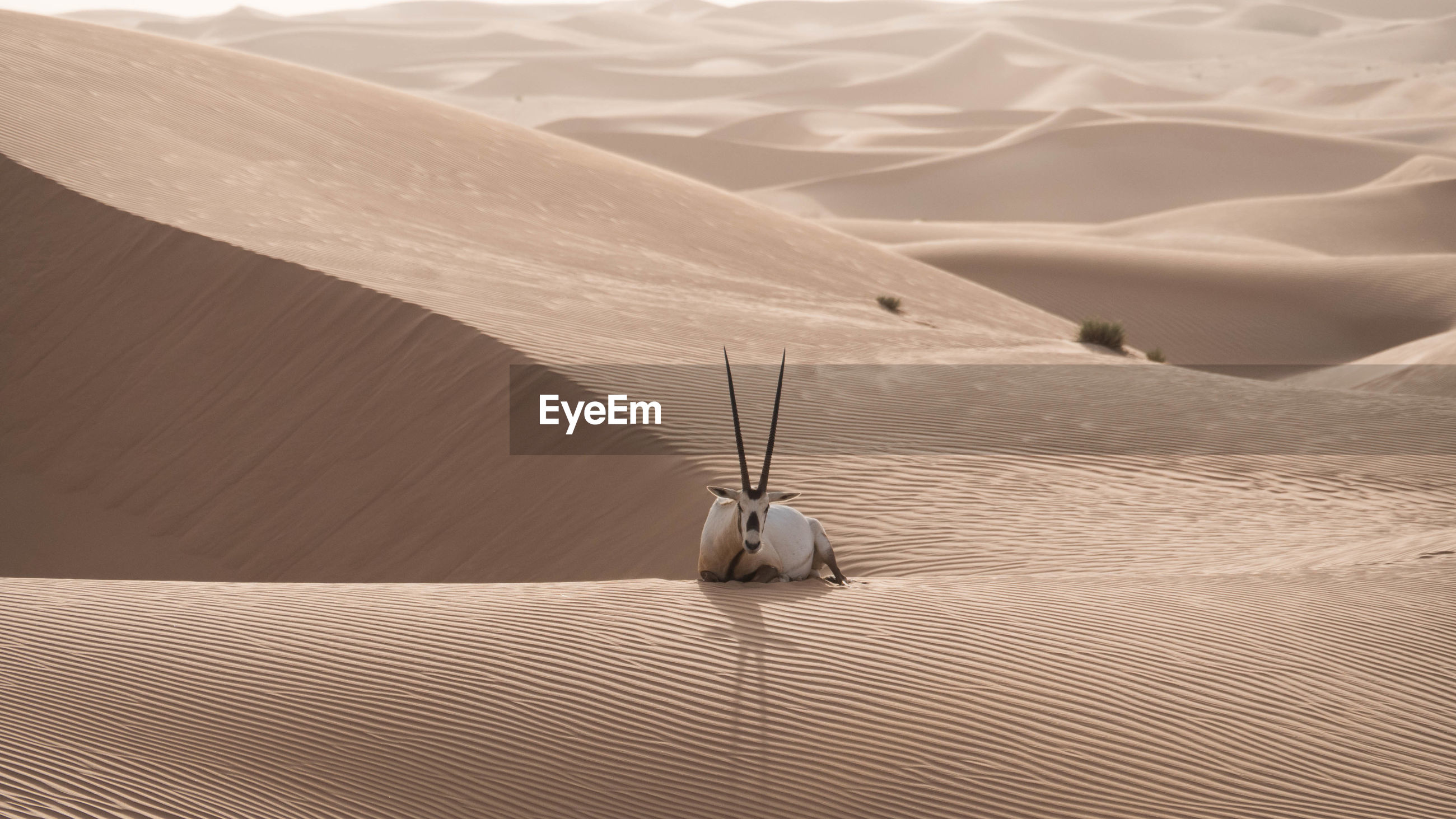 Arabian oryx relaxing on sand dune at desert
